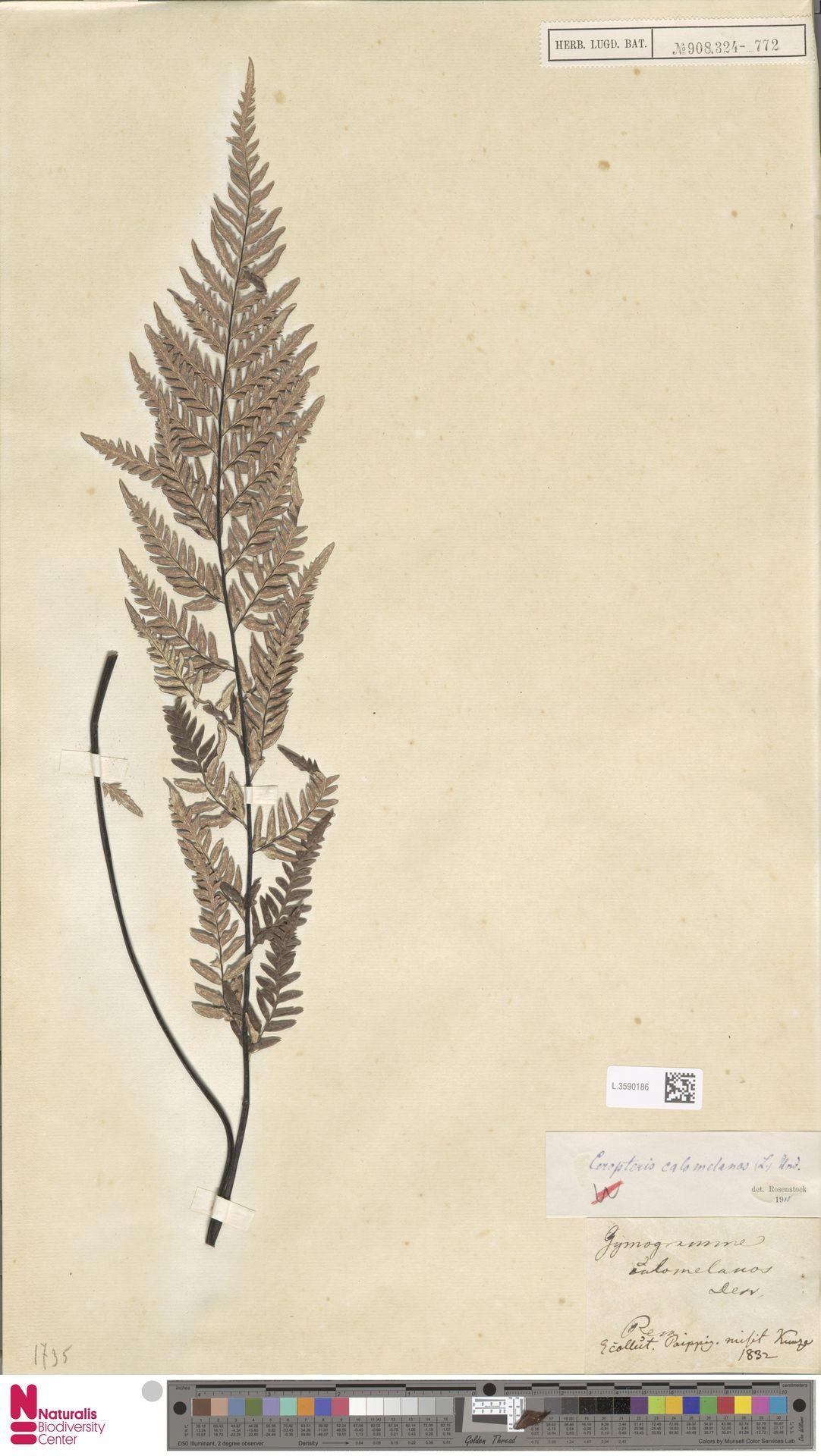 L.3590186 | Pityrogramma calomelanos (L.) Link
