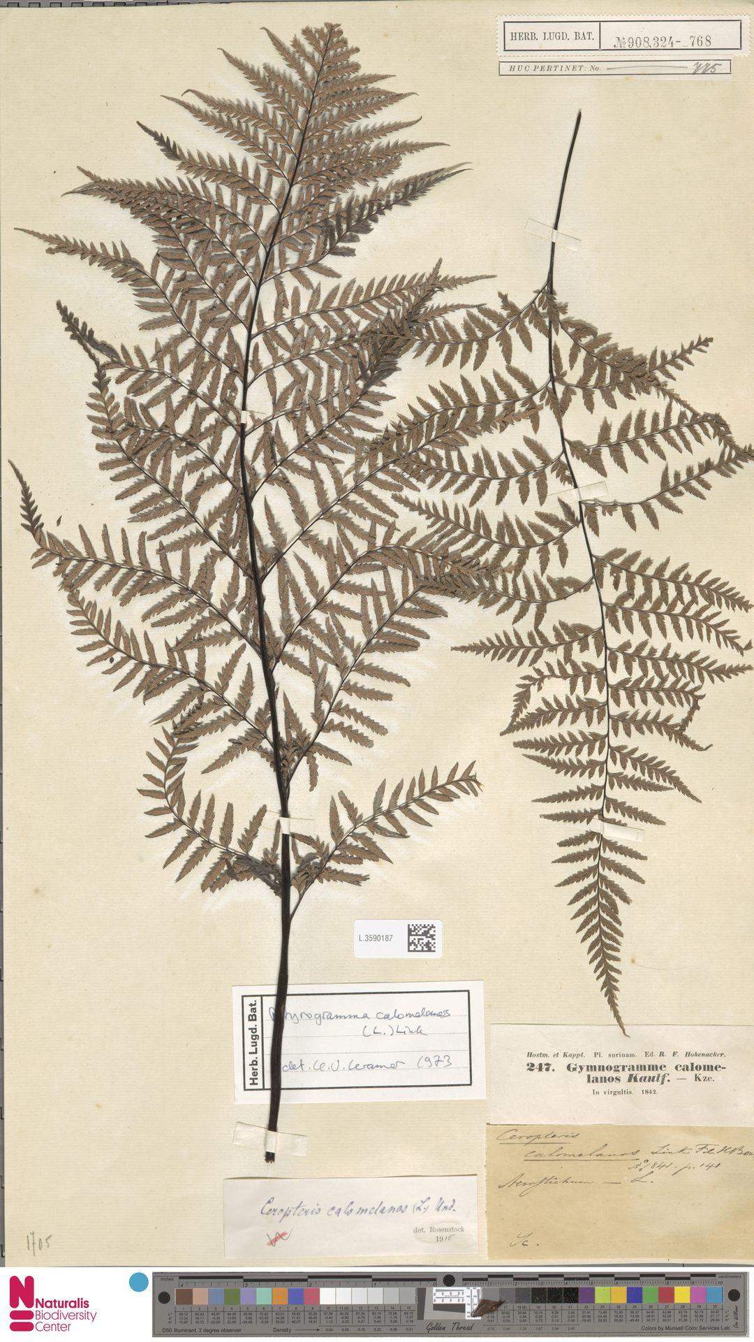 L.3590187 | Pityrogramma calomelanos (L.) Link