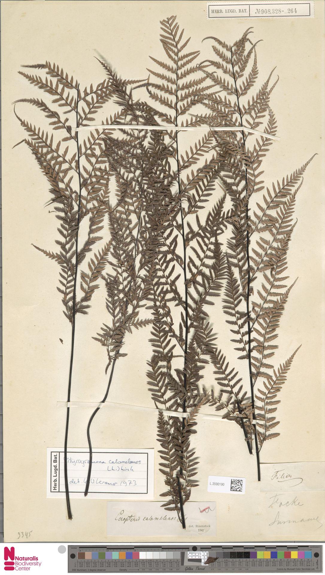 L.3590190   Pityrogramma calomelanos (L.) Link