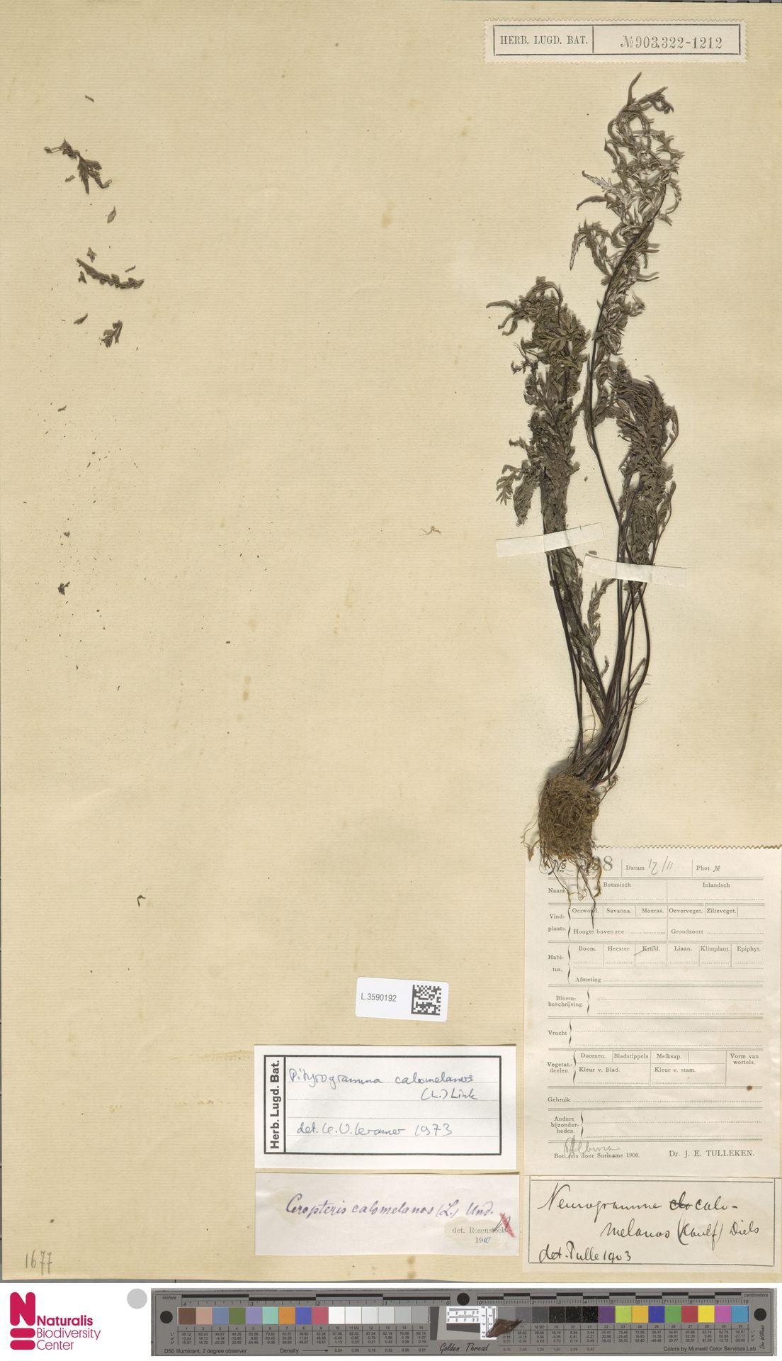 L.3590192 | Pityrogramma calomelanos (L.) Link