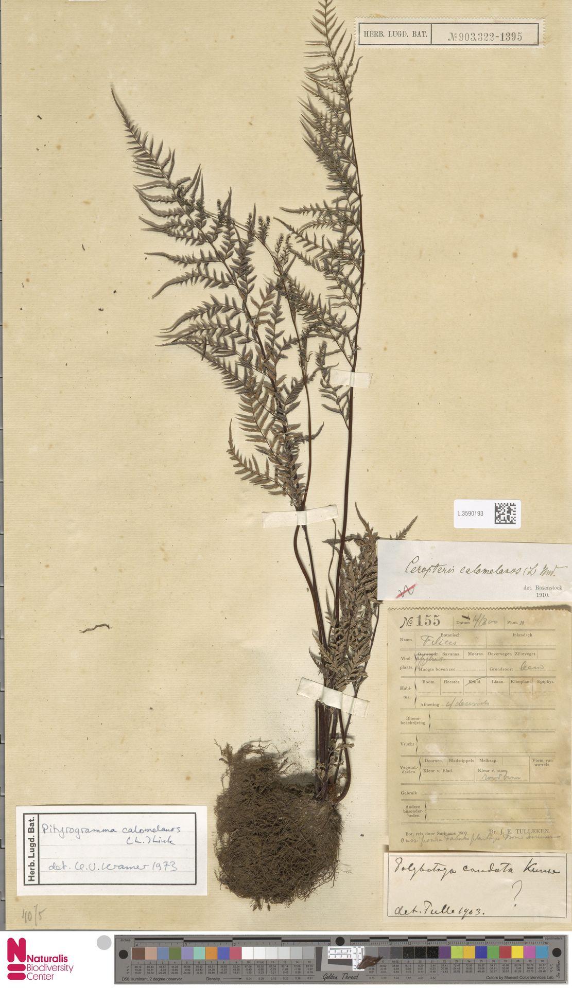 L.3590193 | Pityrogramma calomelanos (L.) Link