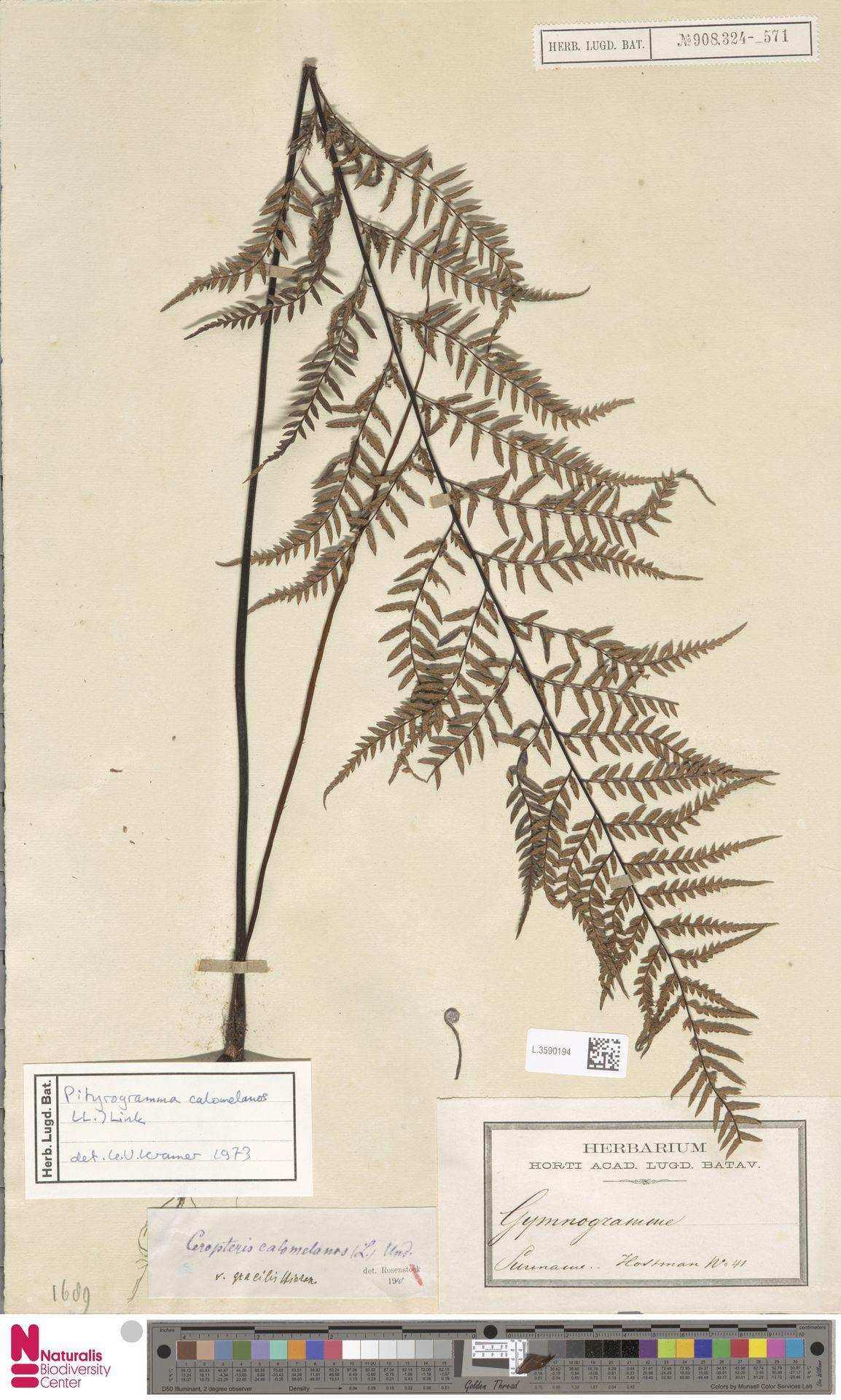 L.3590194   Pityrogramma calomelanos (L.) Link