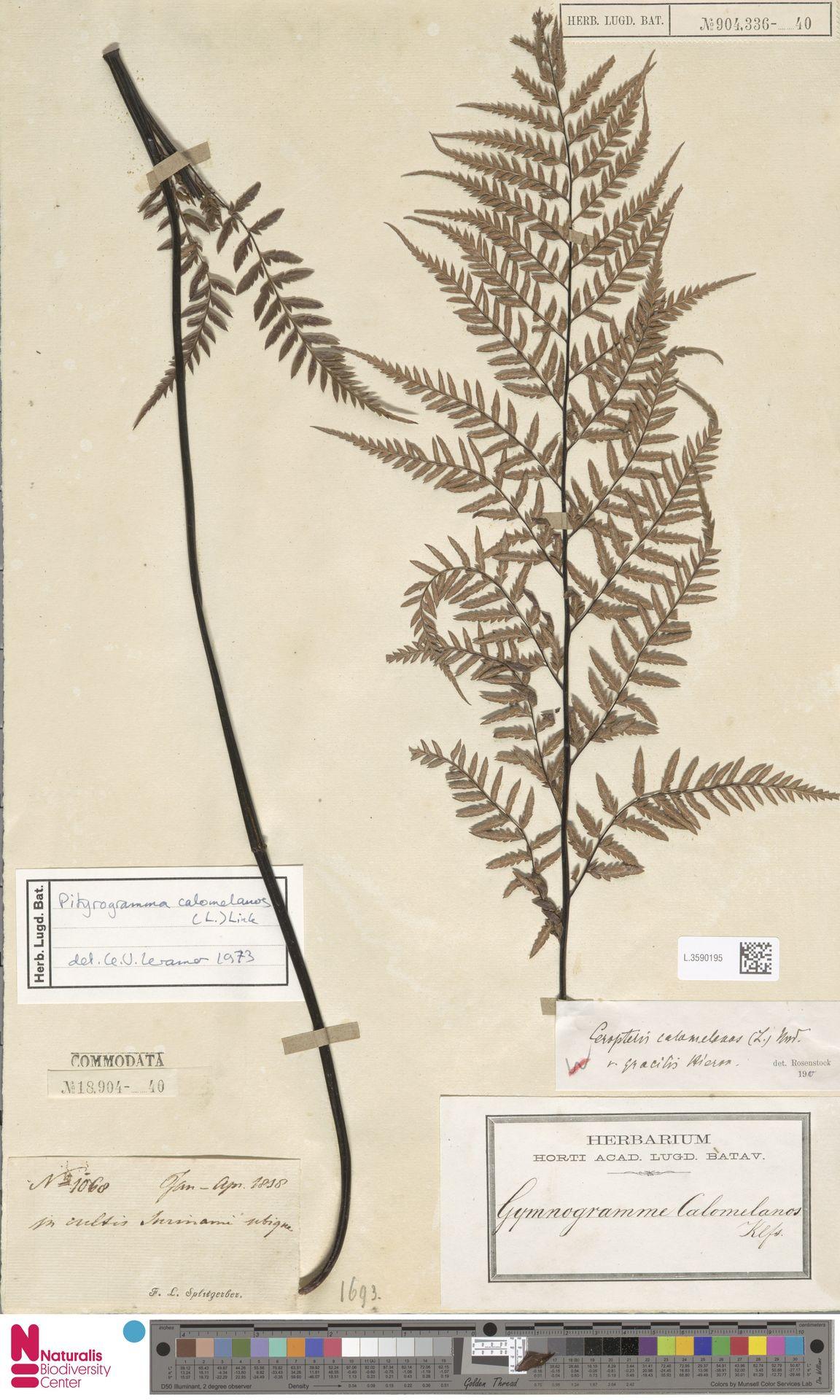 L.3590195 | Pityrogramma calomelanos (L.) Link