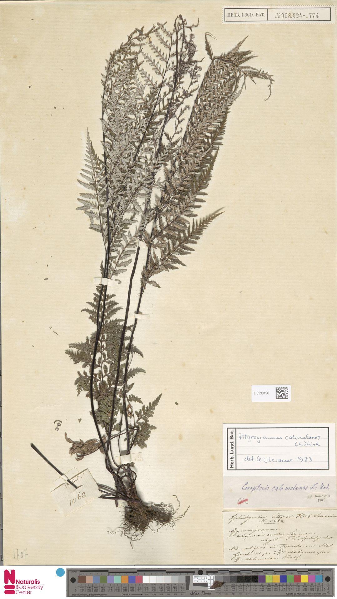 L.3590196 | Pityrogramma calomelanos (L.) Link