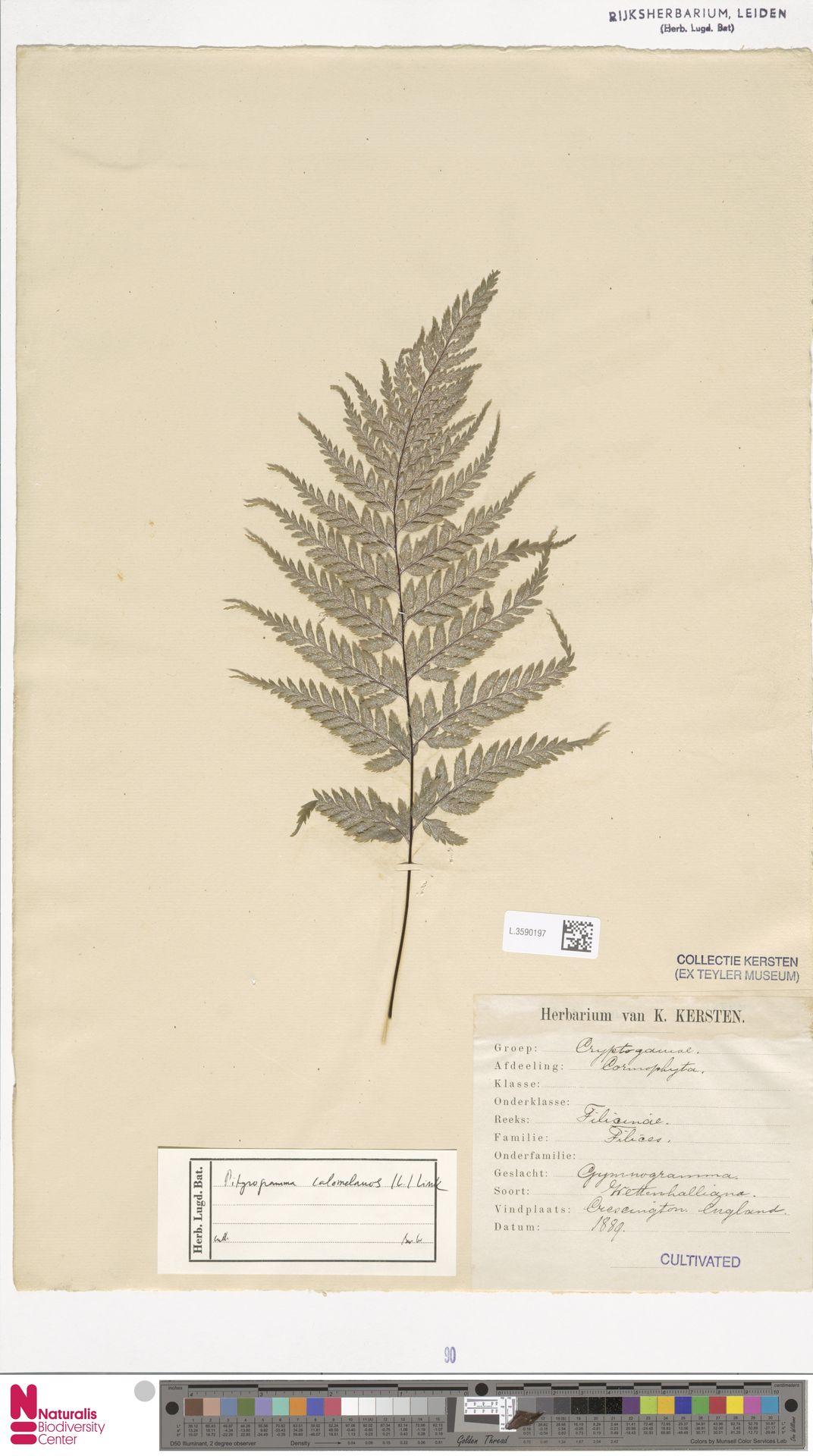 L.3590197 | Pityrogramma calomelanos (L.) Link