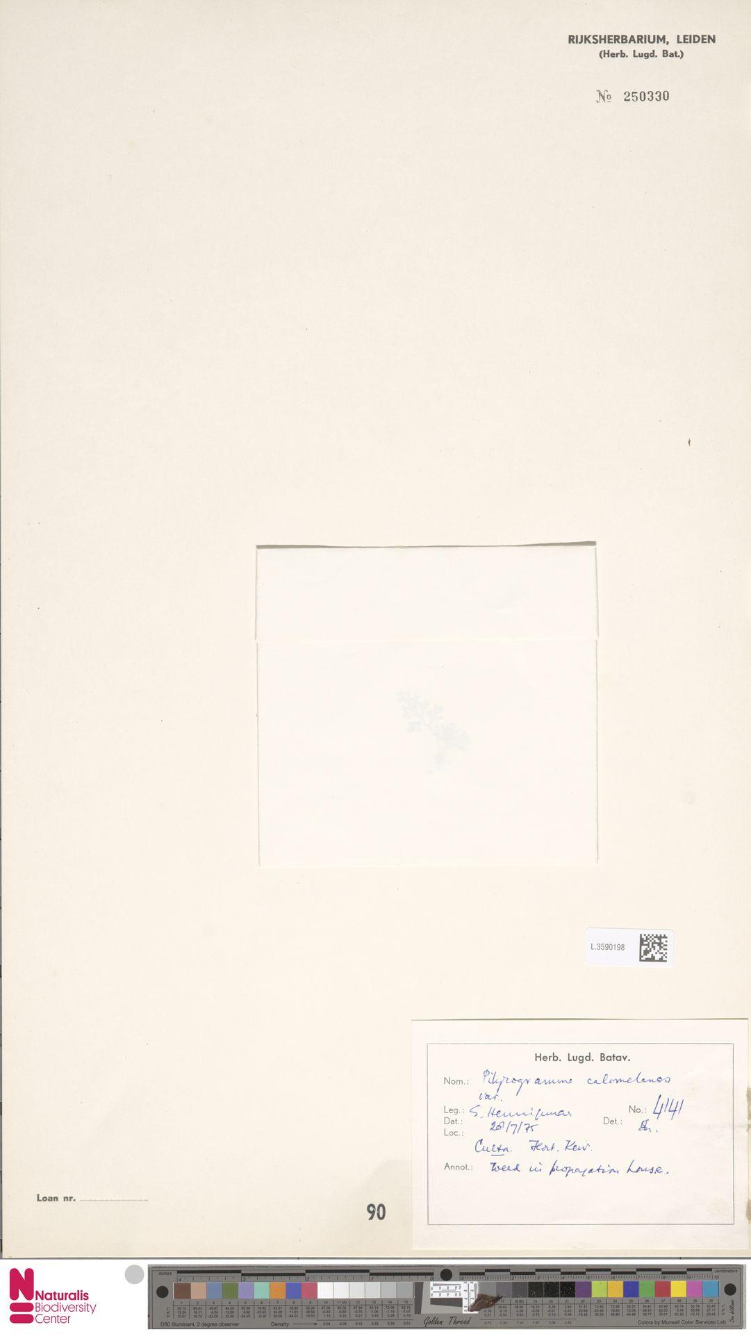 L.3590198 | Pityrogramma calomelanos (L.) Link