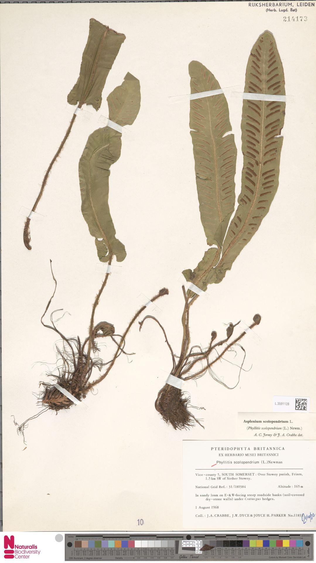 L.3591128 | Asplenium scolopendrium L.