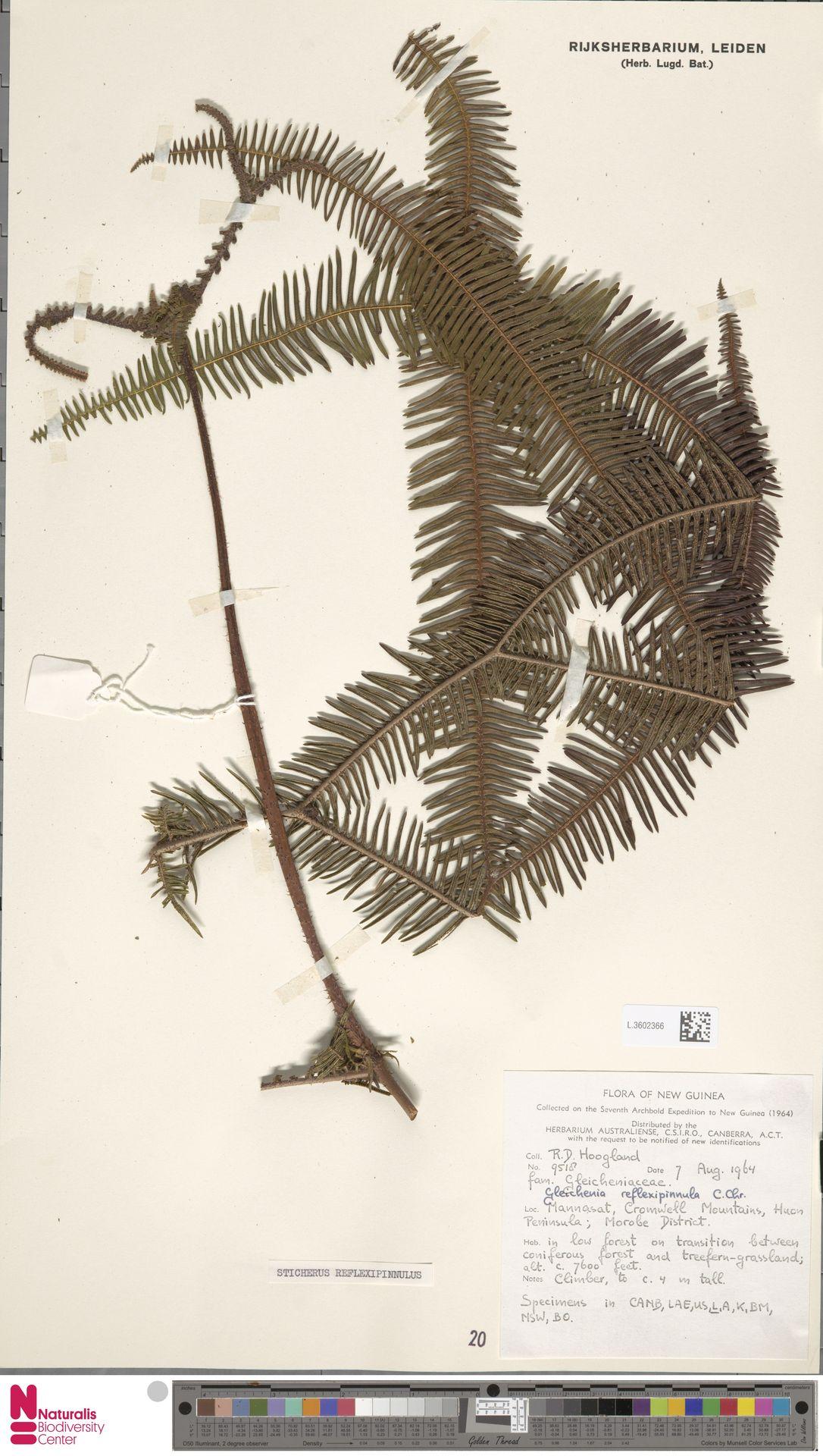 L.3602366 | Sticherus reflexipinnula (C.Chr.) Copel.