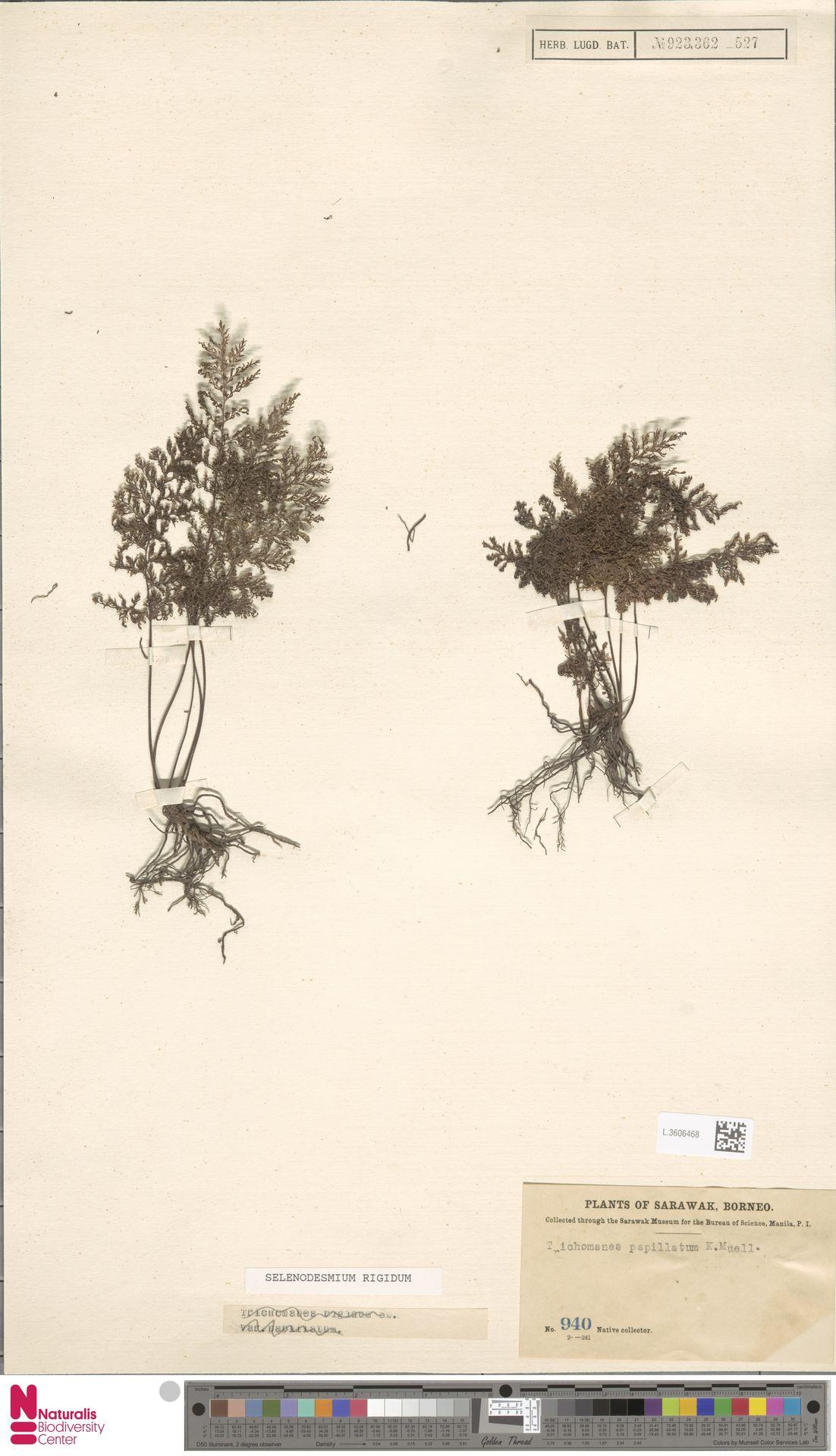 L.3606468 | Selenodesmium rigidum (Sw.) Copel.