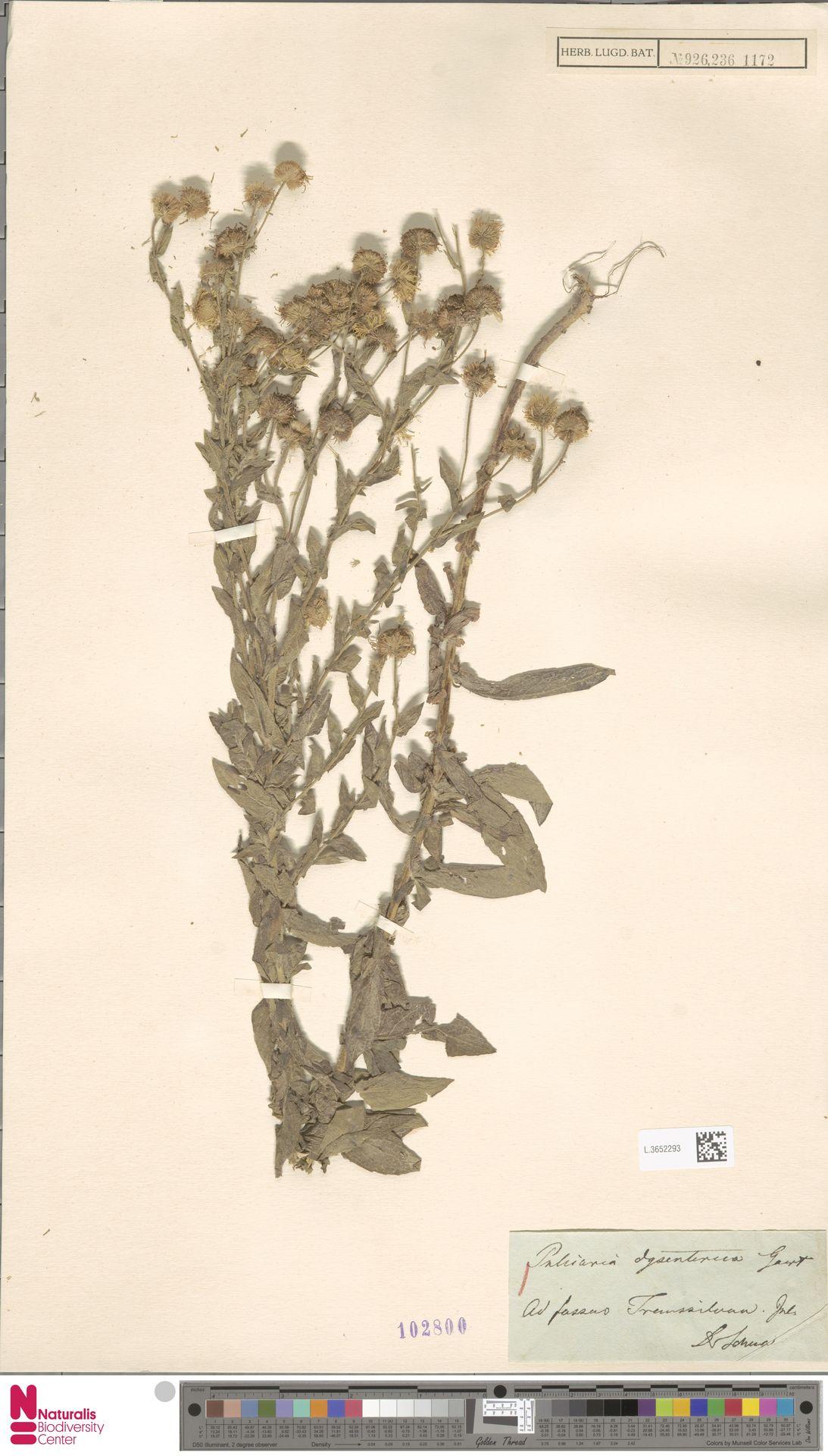L.3652293 | Pulicaria dysenterica (L.) Bernh.