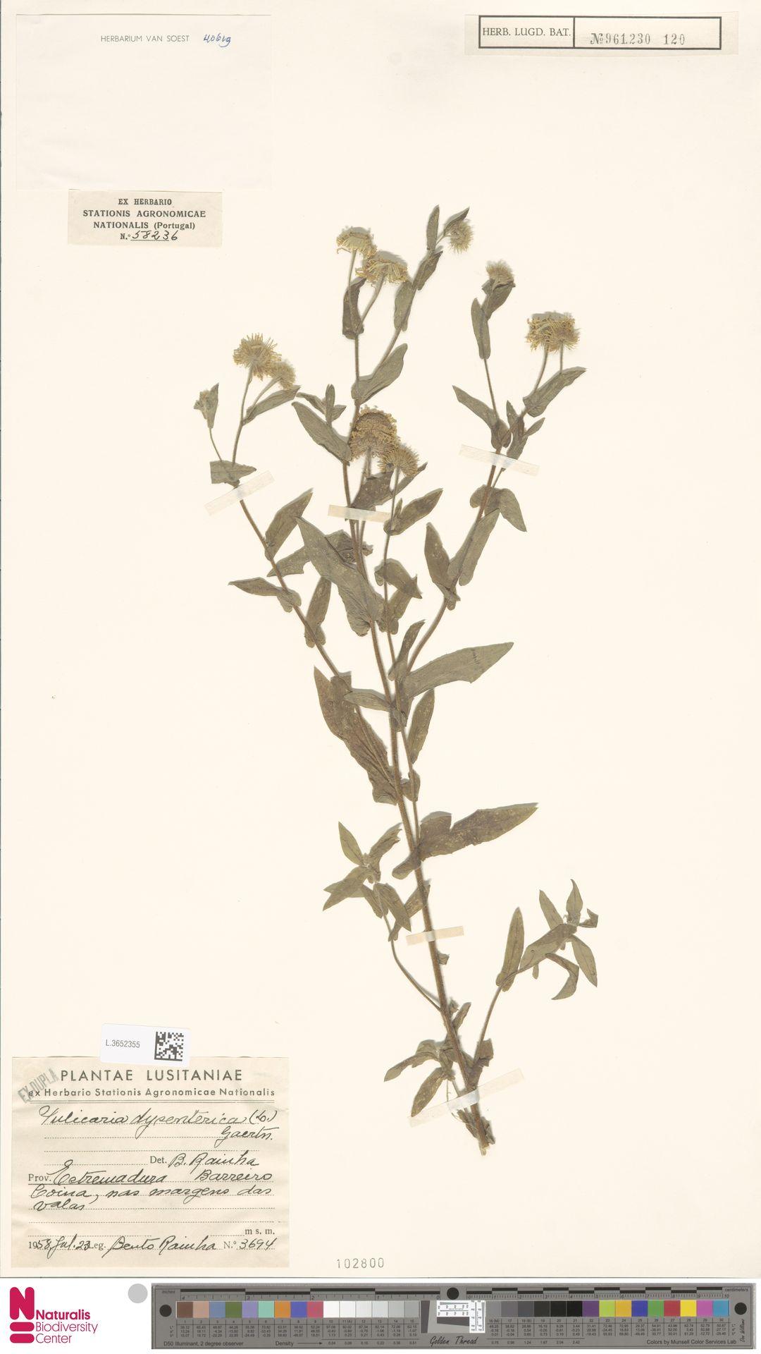 L.3652355 | Pulicaria dysenterica (L.) Bernh.