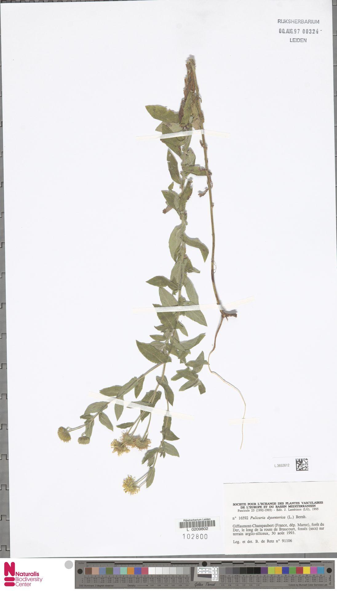 L.3652612 | Pulicaria dysenterica (L.) Bernh.