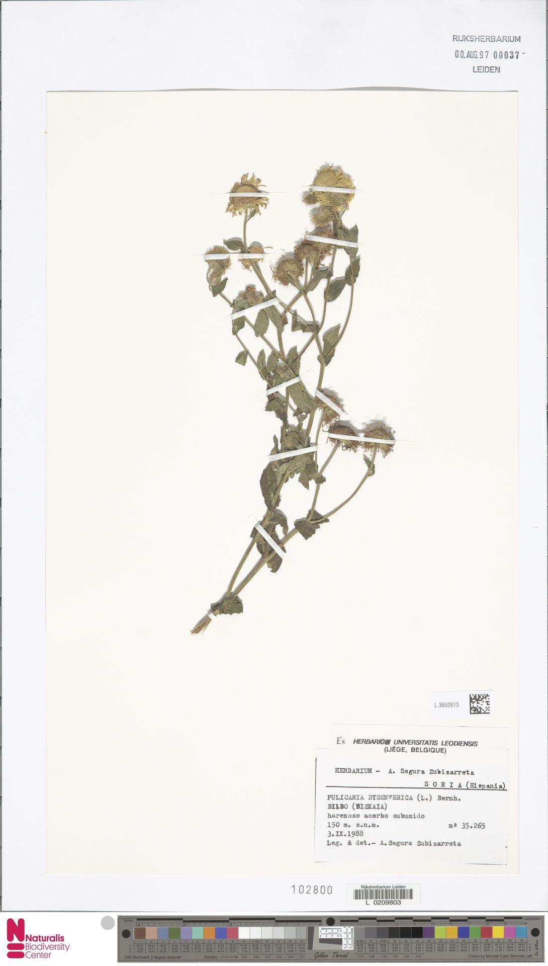 L.3652613 | Pulicaria dysenterica (L.) Bernh.