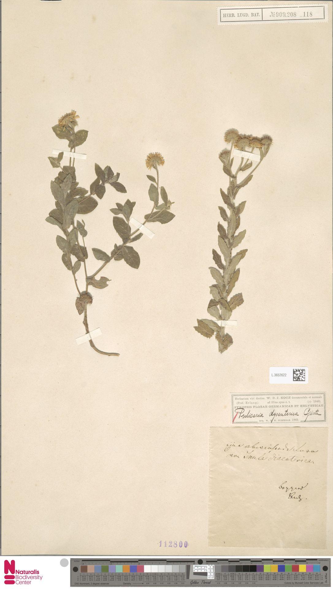 L.3652622   Pulicaria dysenterica (L.) Bernh.