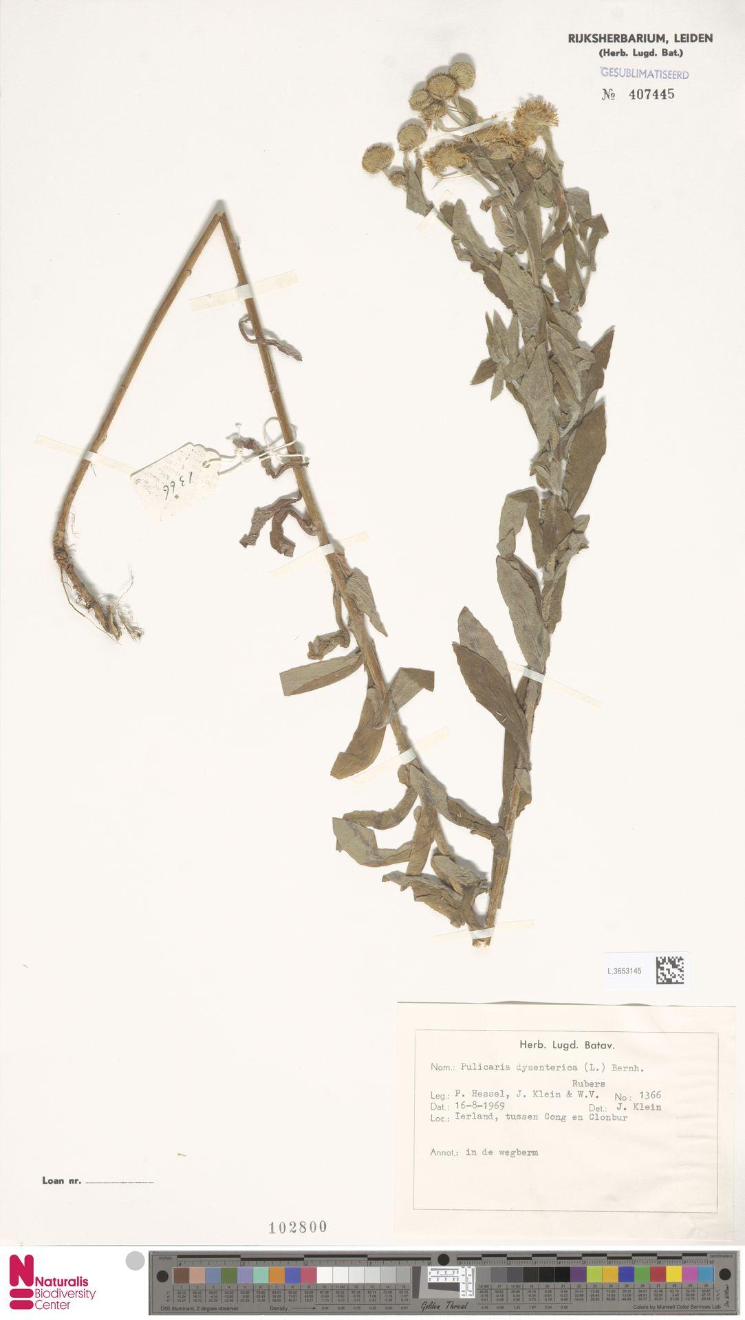 L.3653145 | Pulicaria dysenterica (L.) Bernh.
