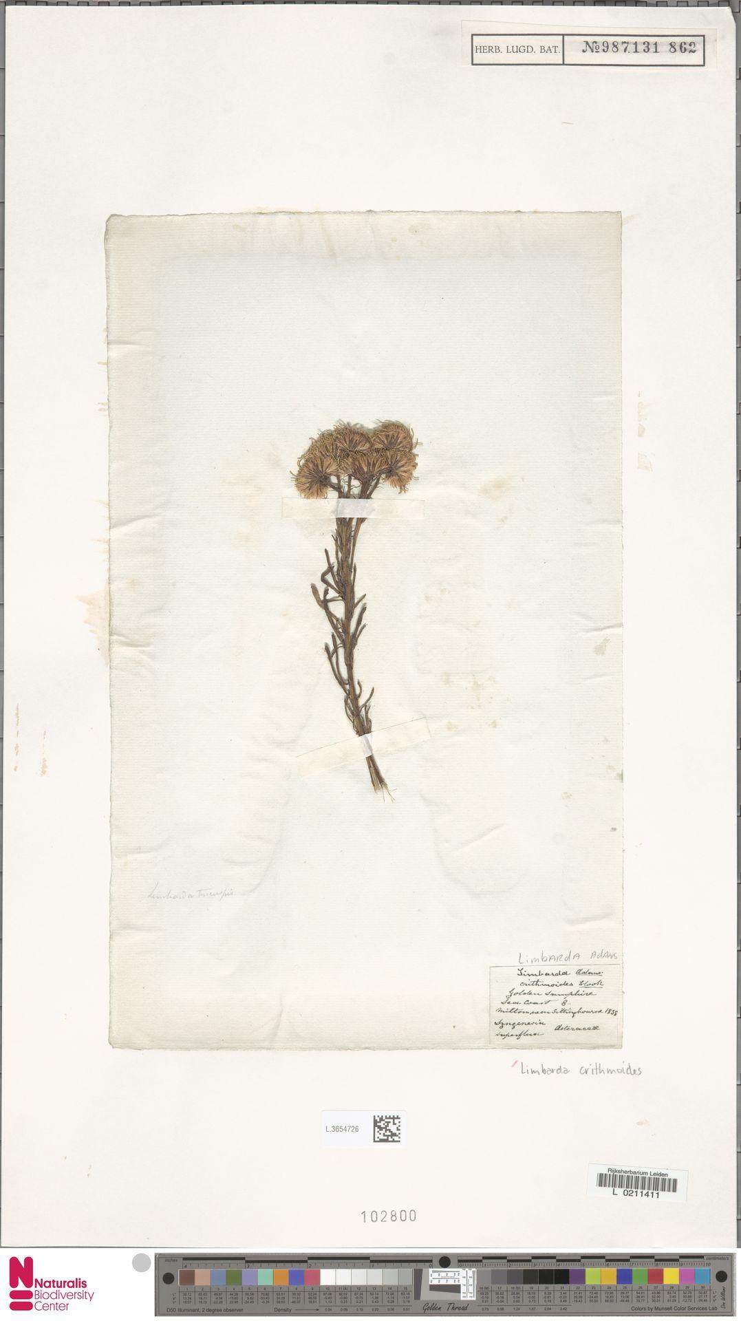 L.3654726   Limbarda crithmoides (L.) Dumort.