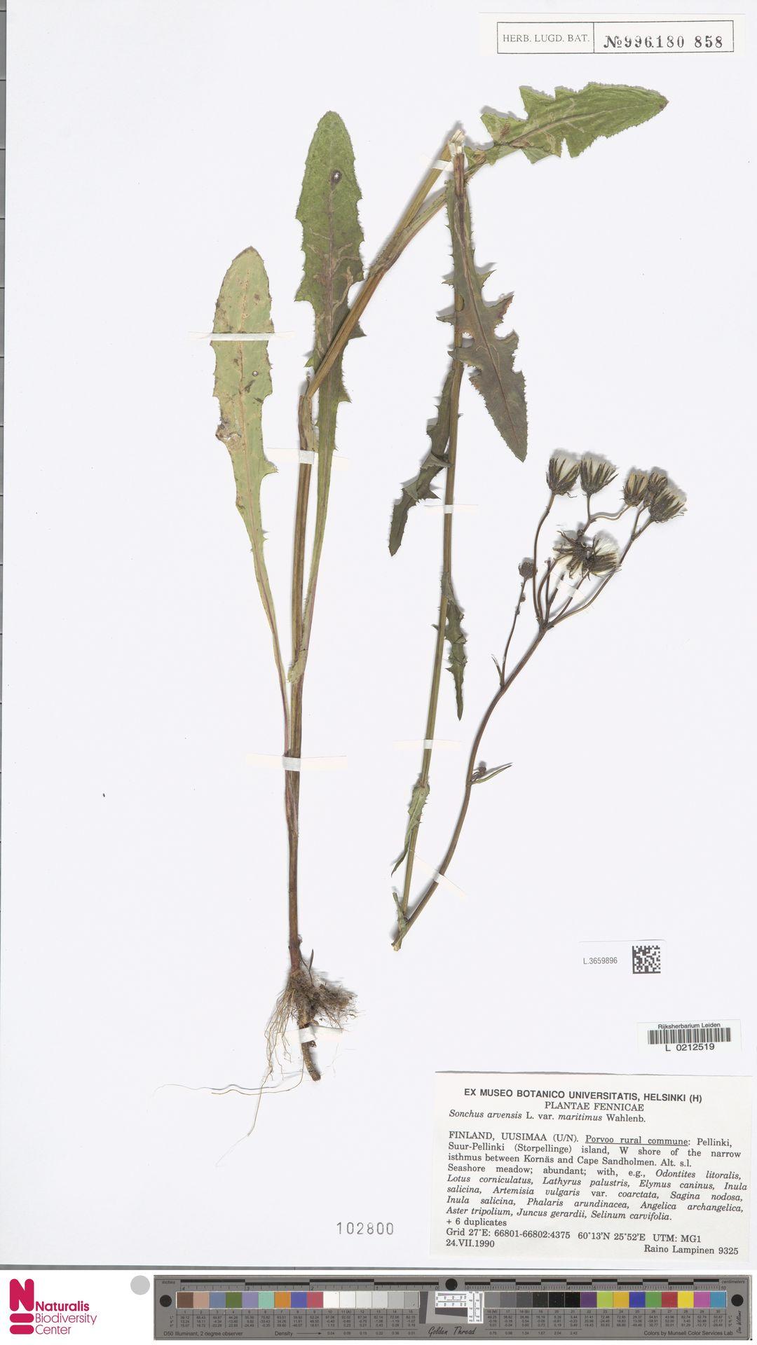 L.3659896 | Sonchus arvensis var. maritimus G.Mey.