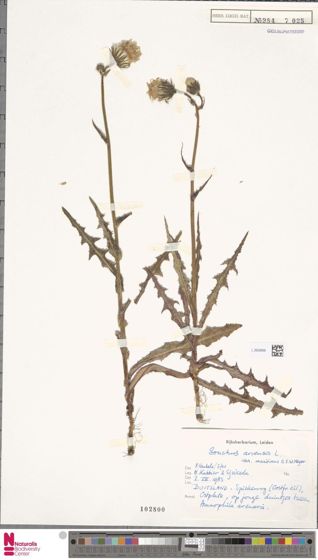 L.3659898 | Sonchus arvensis var. maritimus G.Mey.