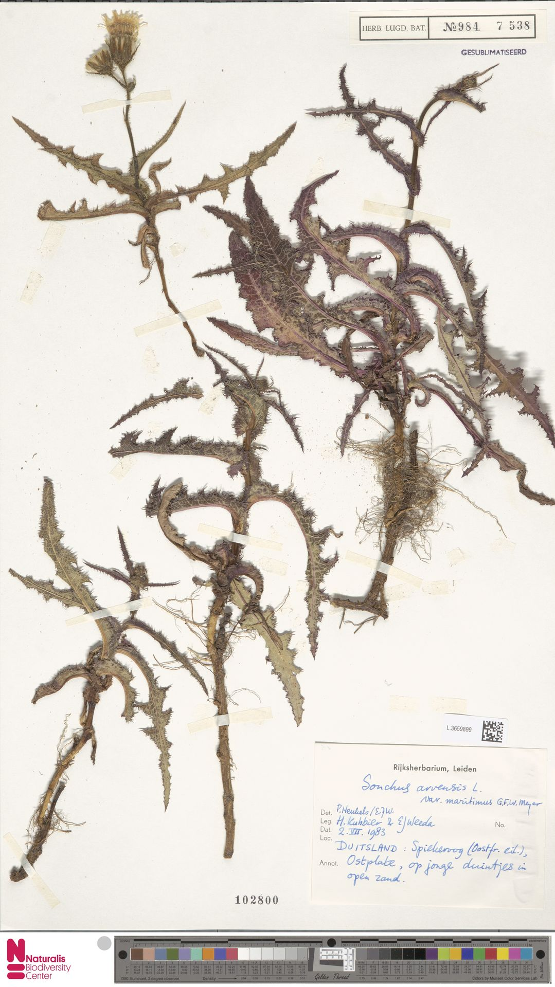 L.3659899 | Sonchus arvensis var. maritimus G.Mey.