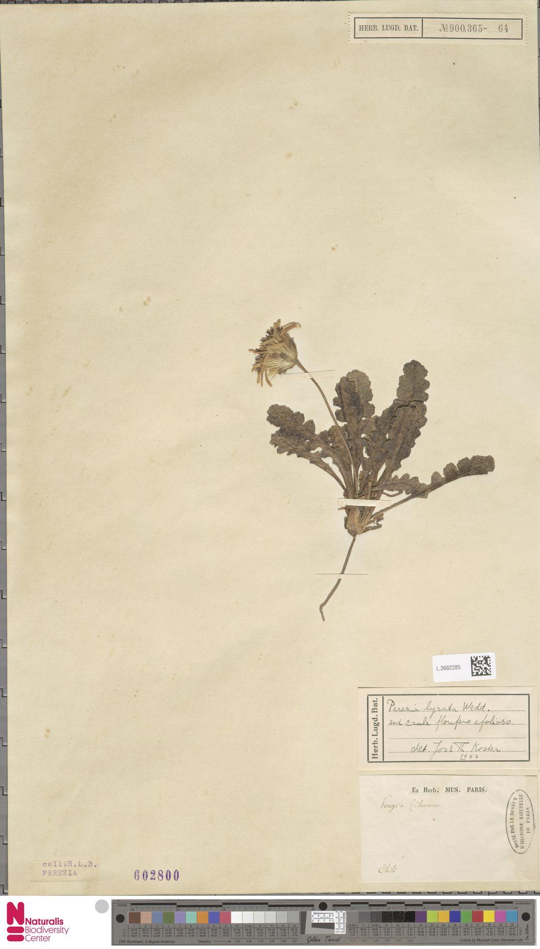 L.3662285 | Perezia lyrata Wedd.