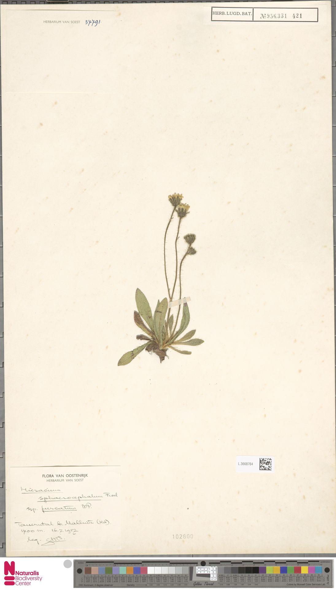 L.3668764 | Hieracium sphaerocephalum subsp. furcatum (Hoppe) Zahn