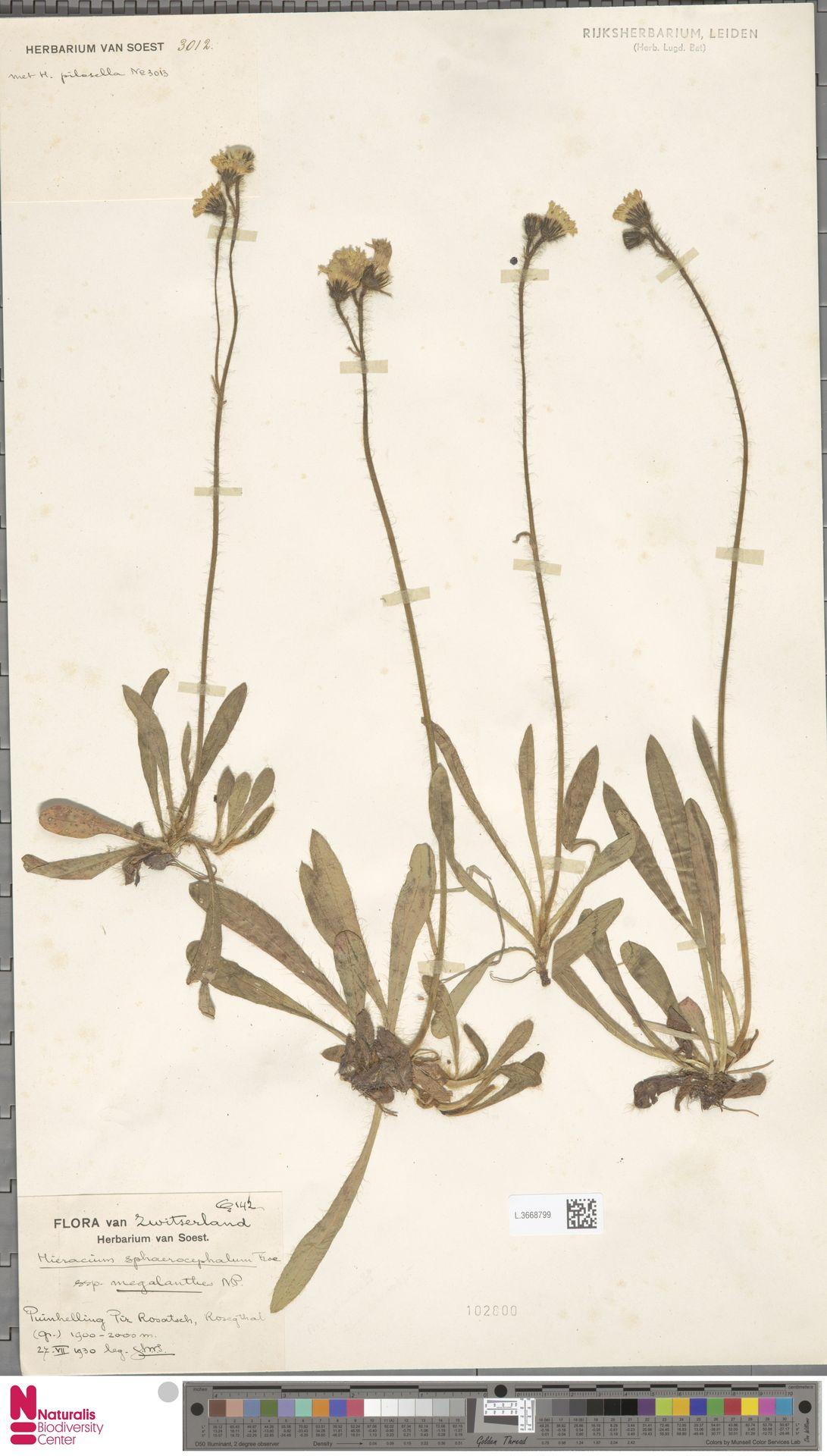L.3668799 | Hieracium sphaerocephalum subsp. megalanthes