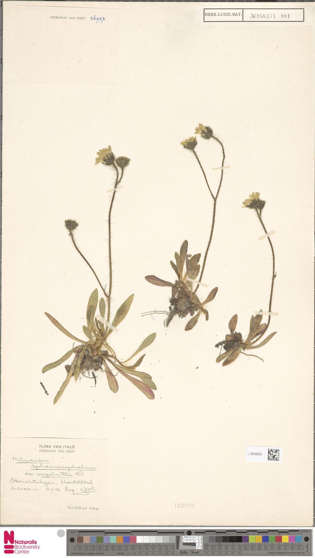 L.3668805 | Hieracium sphaerocephalum subsp. megalanthes