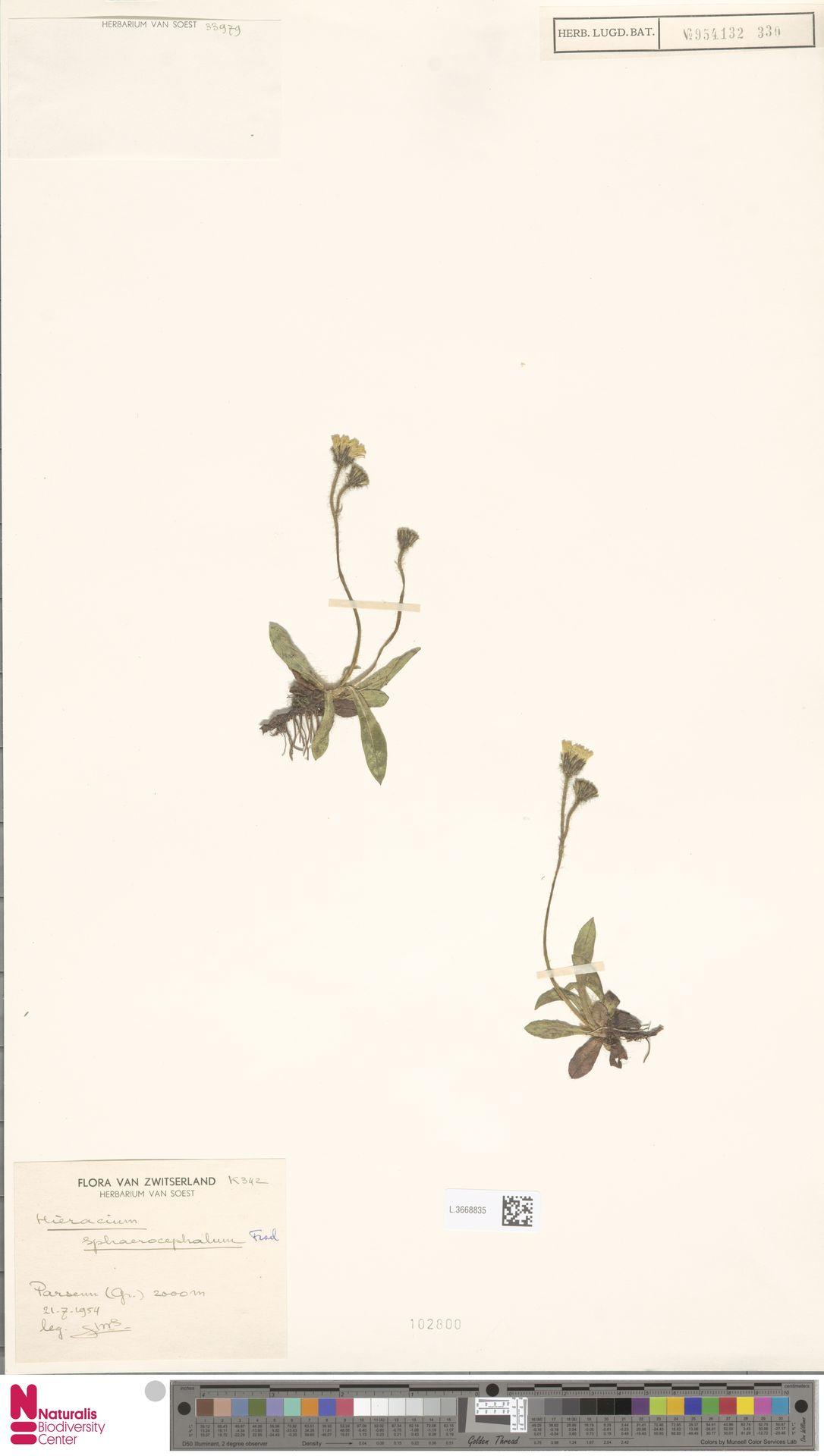 L.3668835 | Hieracium sphaerocephalum Froel.