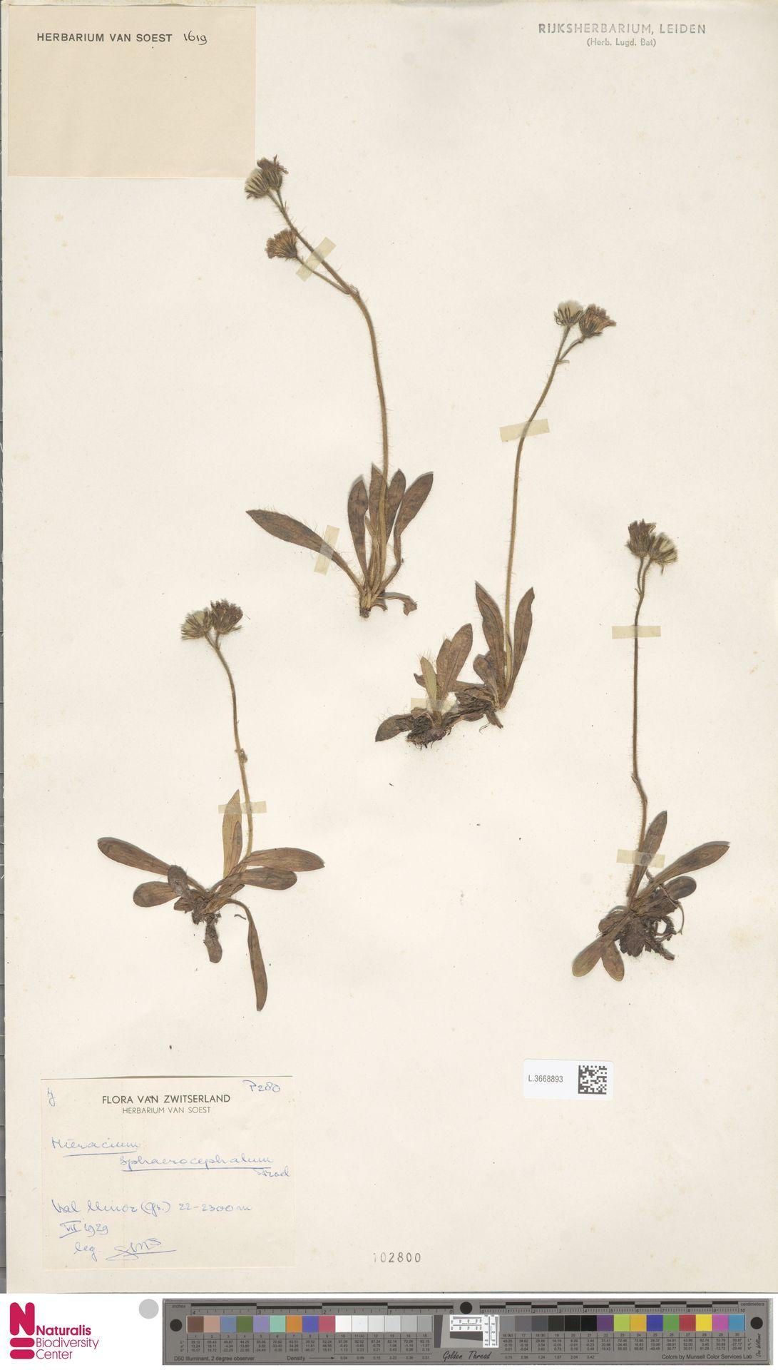 L.3668893 | Hieracium sphaerocephalum Froel.
