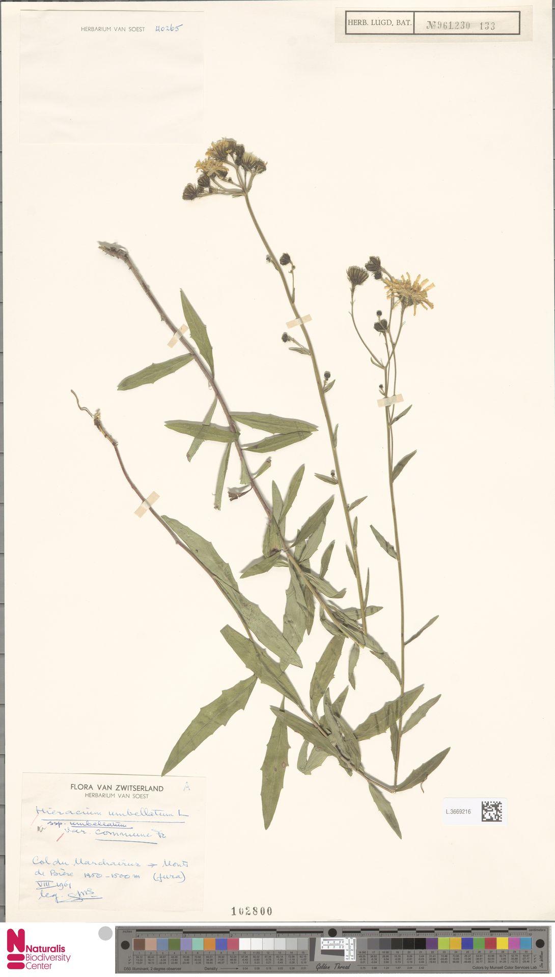 L.3669216   Hieracium umbellatum var. commune Fr.
