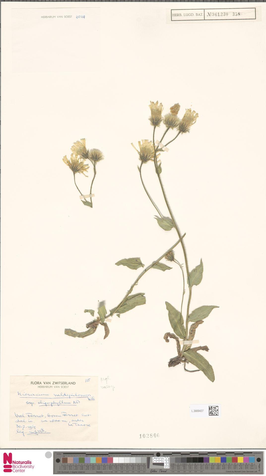 L.3669427   Hieracium valdepilosum subsp. oligophyllum (Nägeli & Peter) Zahn