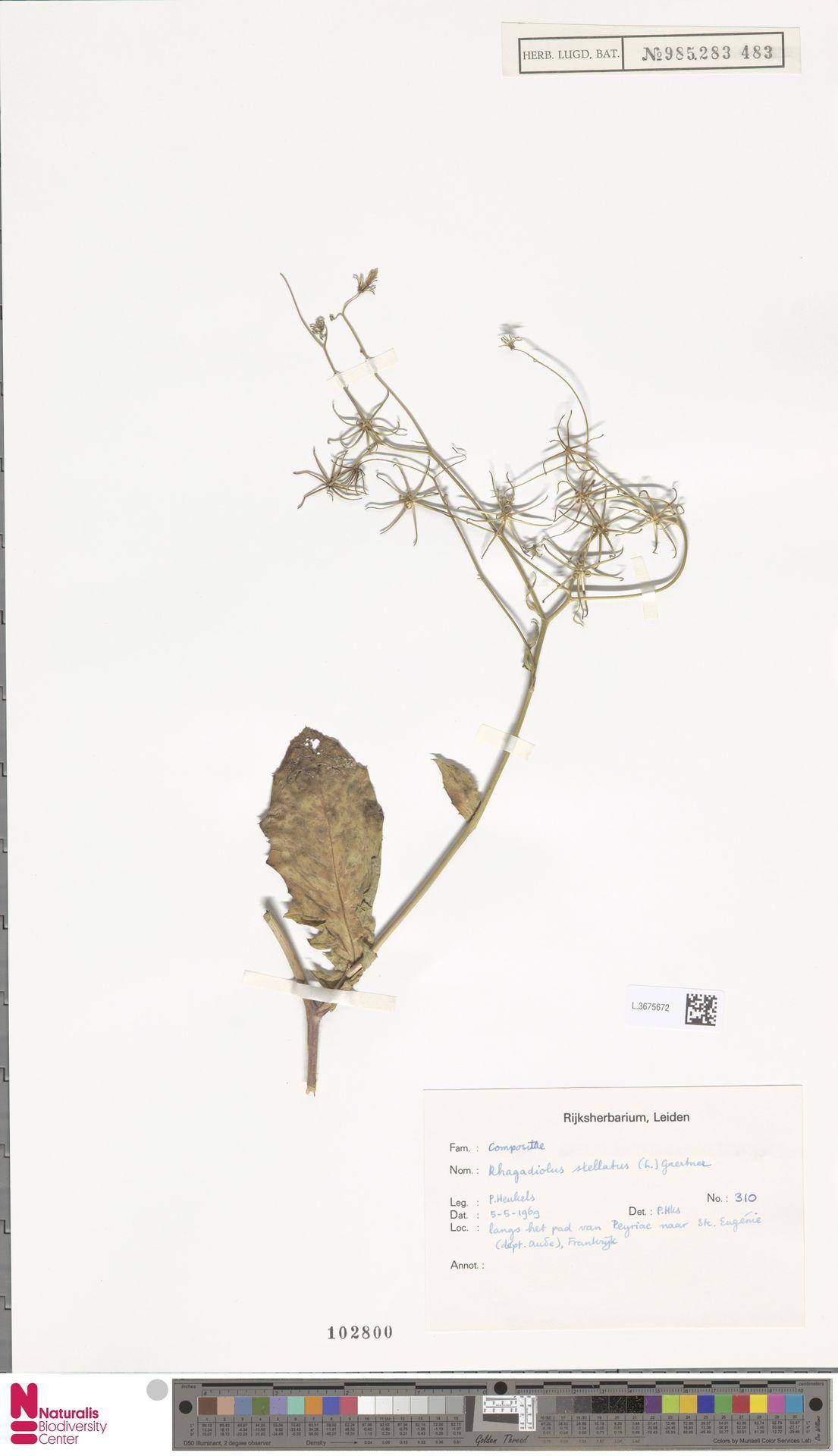L.3675672   Rhagadiolus stellatus (L.) Gaertn.