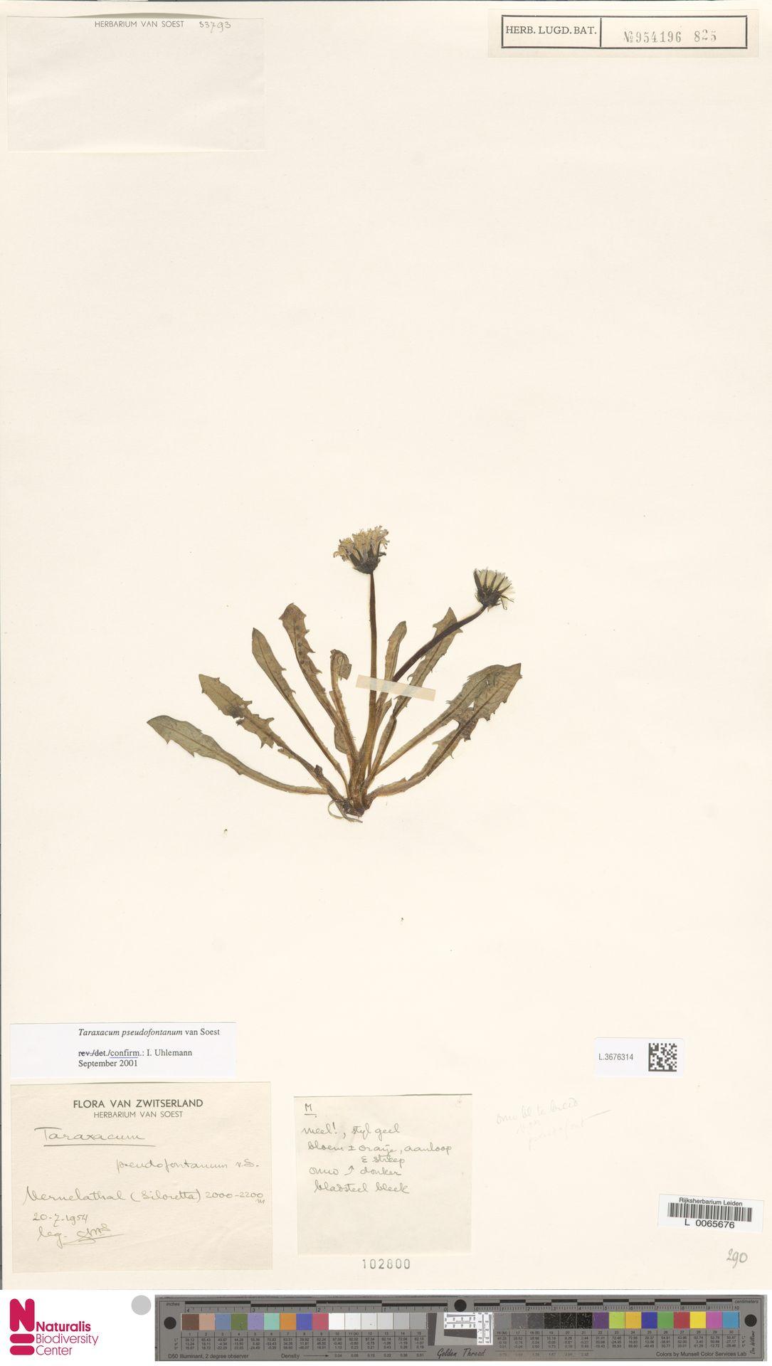 L.3676314   Taraxacum pseudofontanum Soest