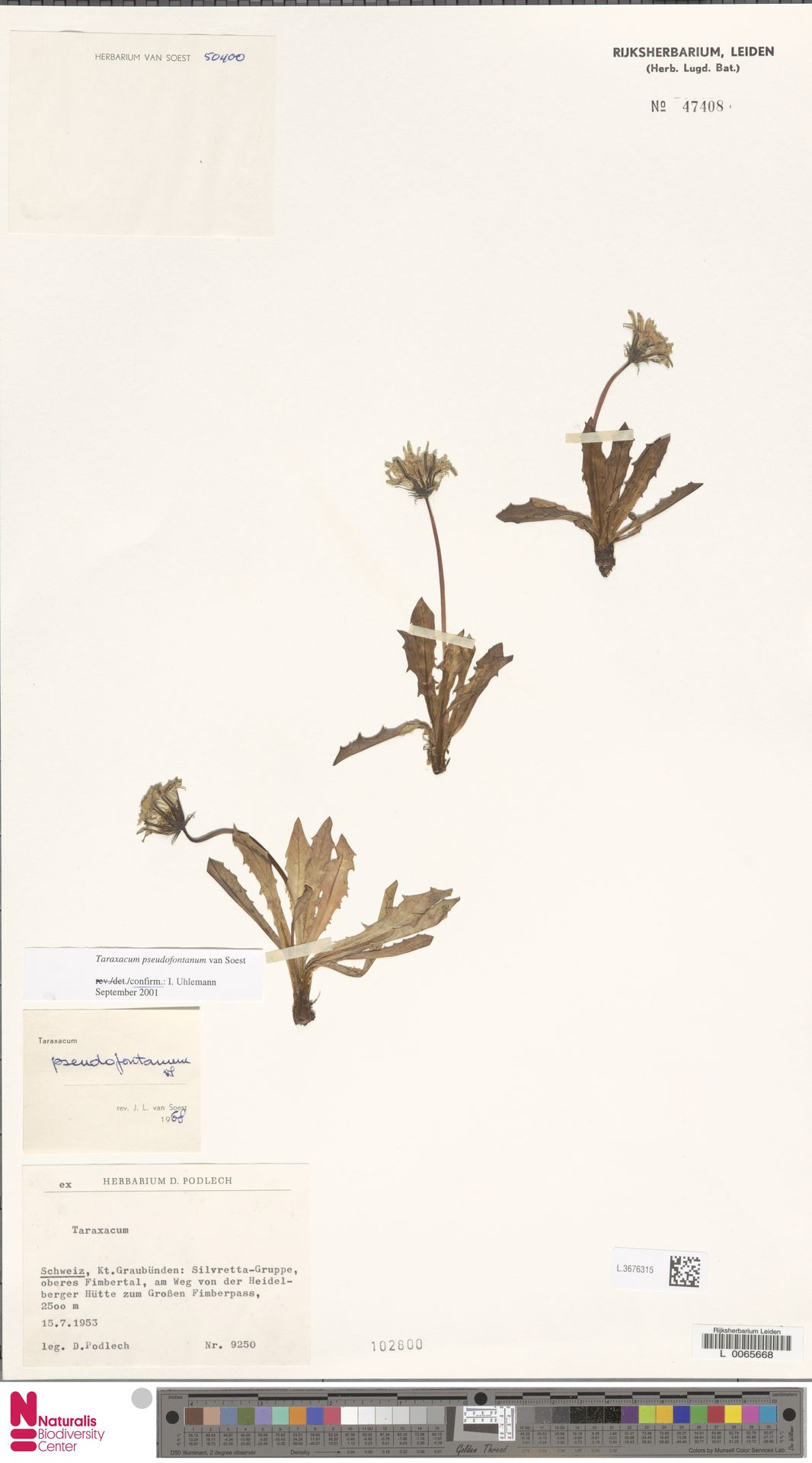 L.3676315   Taraxacum pseudofontanum Soest