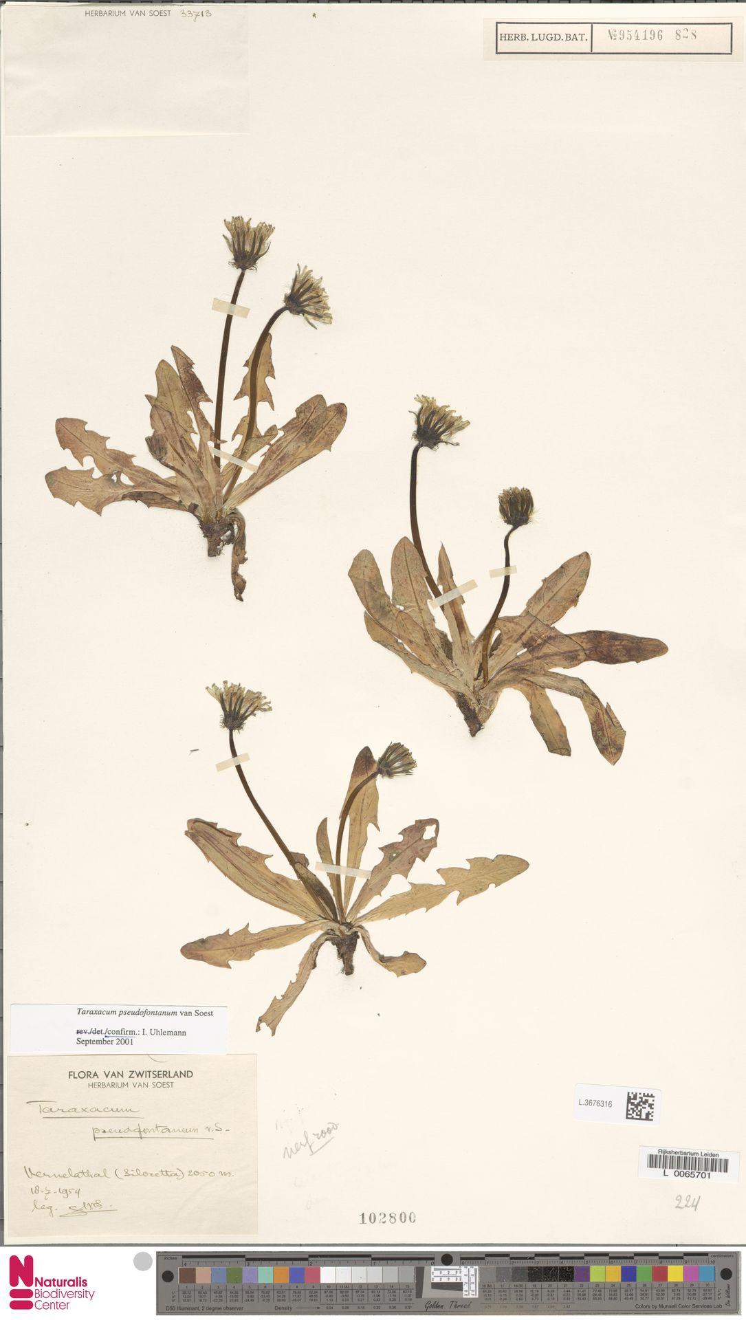 L.3676316   Taraxacum pseudofontanum Soest