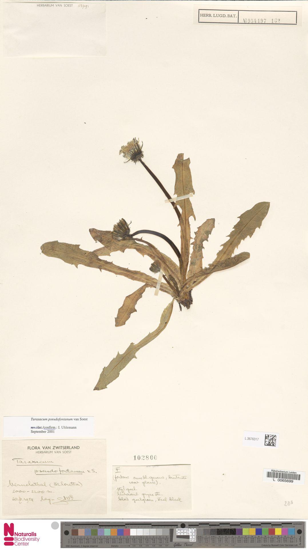 L.3676317 | Taraxacum pseudofontanum Soest