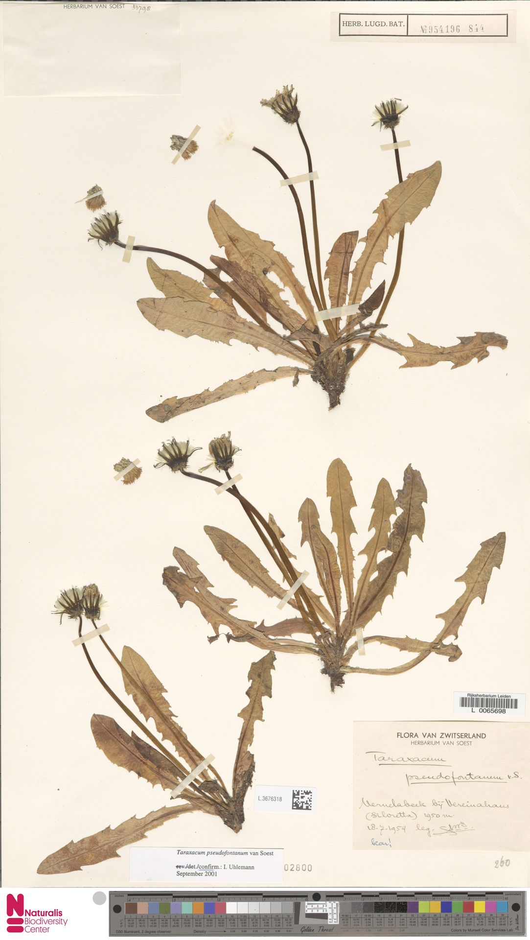 L.3676318 | Taraxacum pseudofontanum Soest