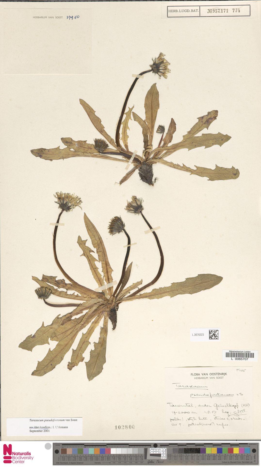 L.3676323   Taraxacum pseudofontanum Soest