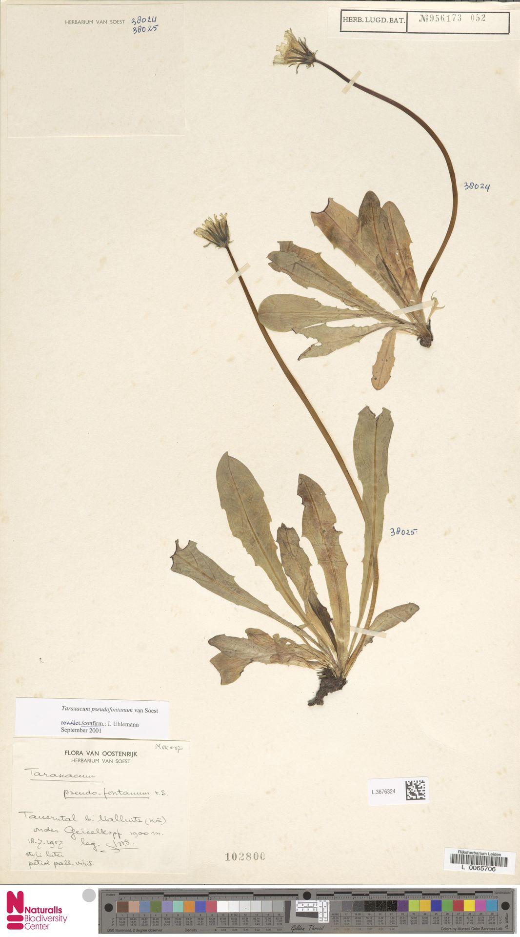 L.3676324 | Taraxacum pseudofontanum Soest