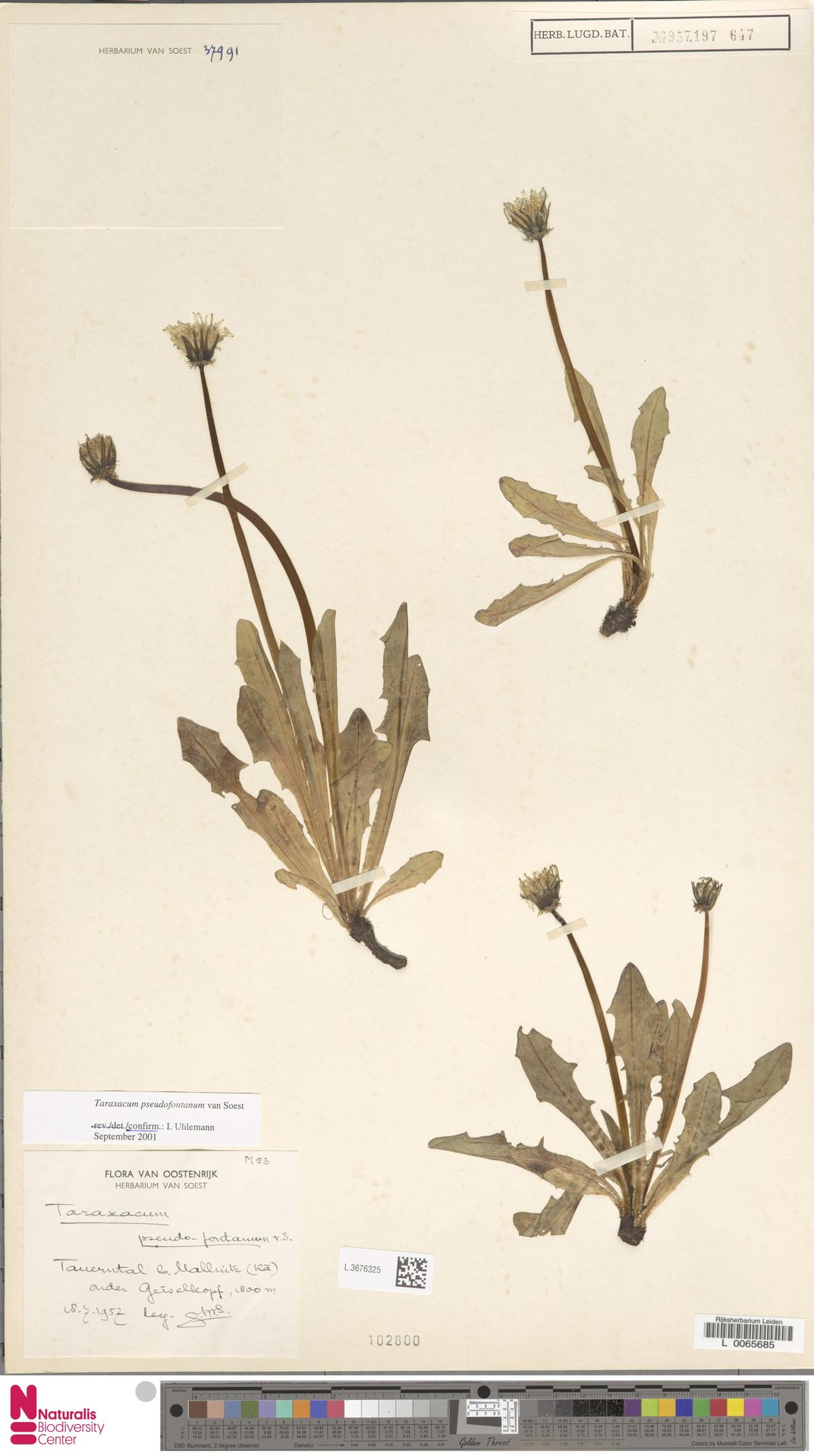 L.3676325   Taraxacum pseudofontanum Soest
