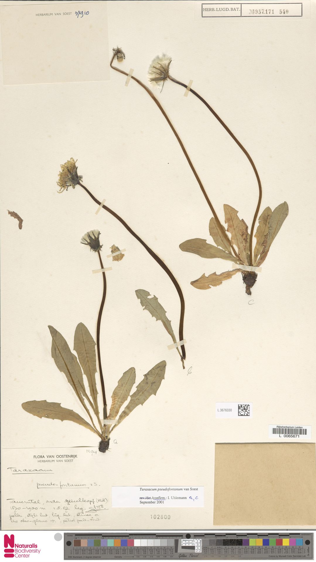 L.3676330 | Taraxacum pseudofontanum Soest
