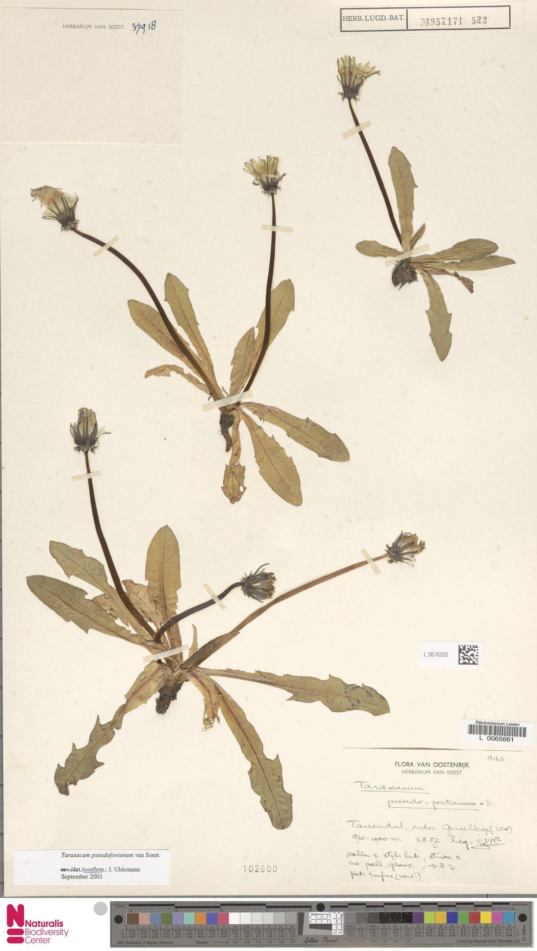 L.3676332 | Taraxacum pseudofontanum Soest