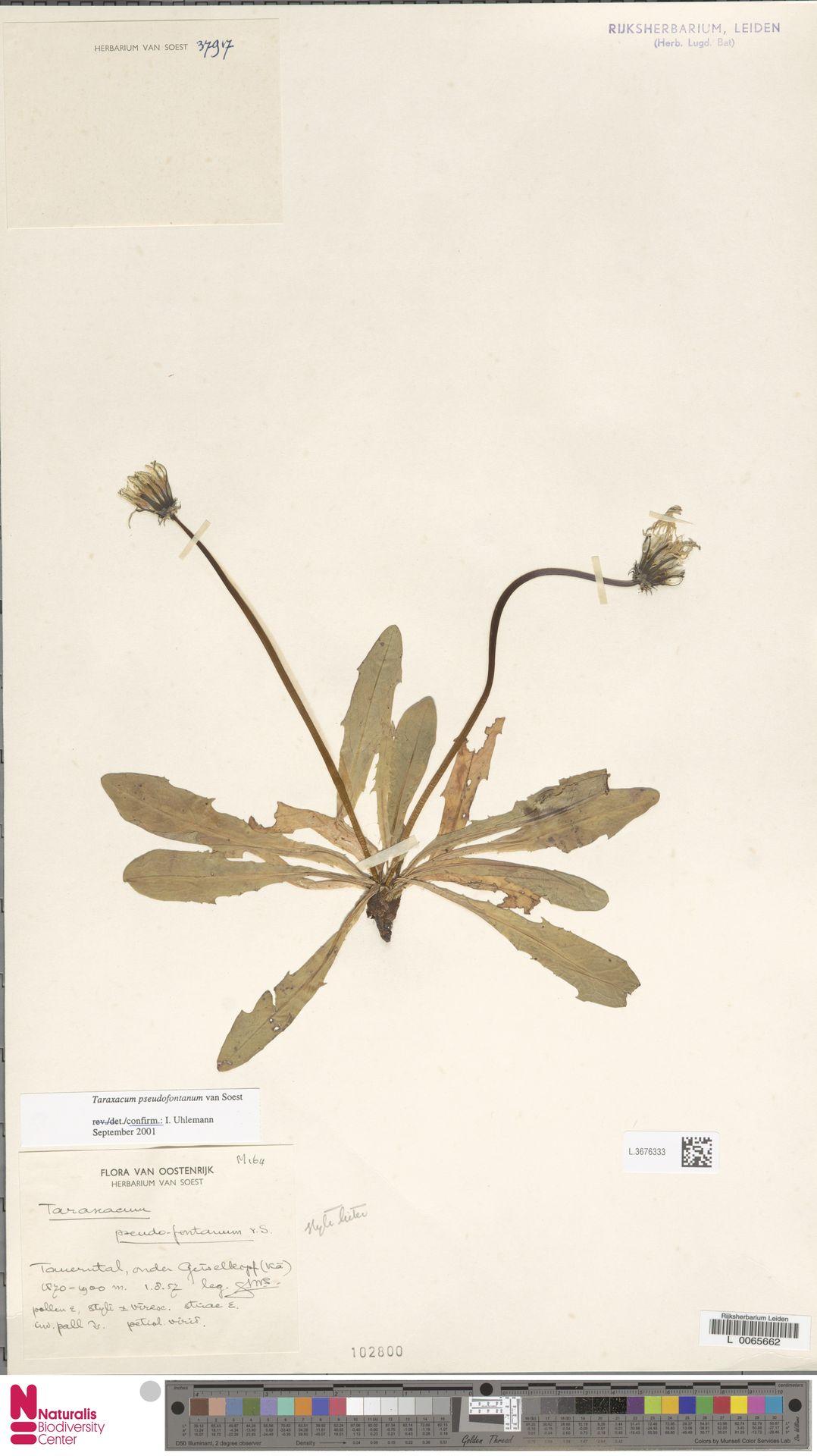 L.3676333 | Taraxacum pseudofontanum Soest