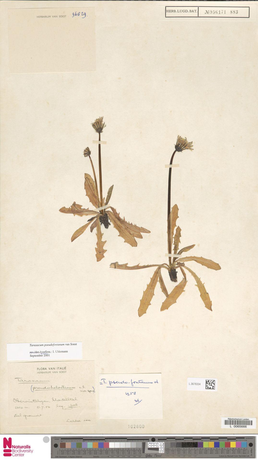 L.3676334 | Taraxacum pseudofontanum Soest