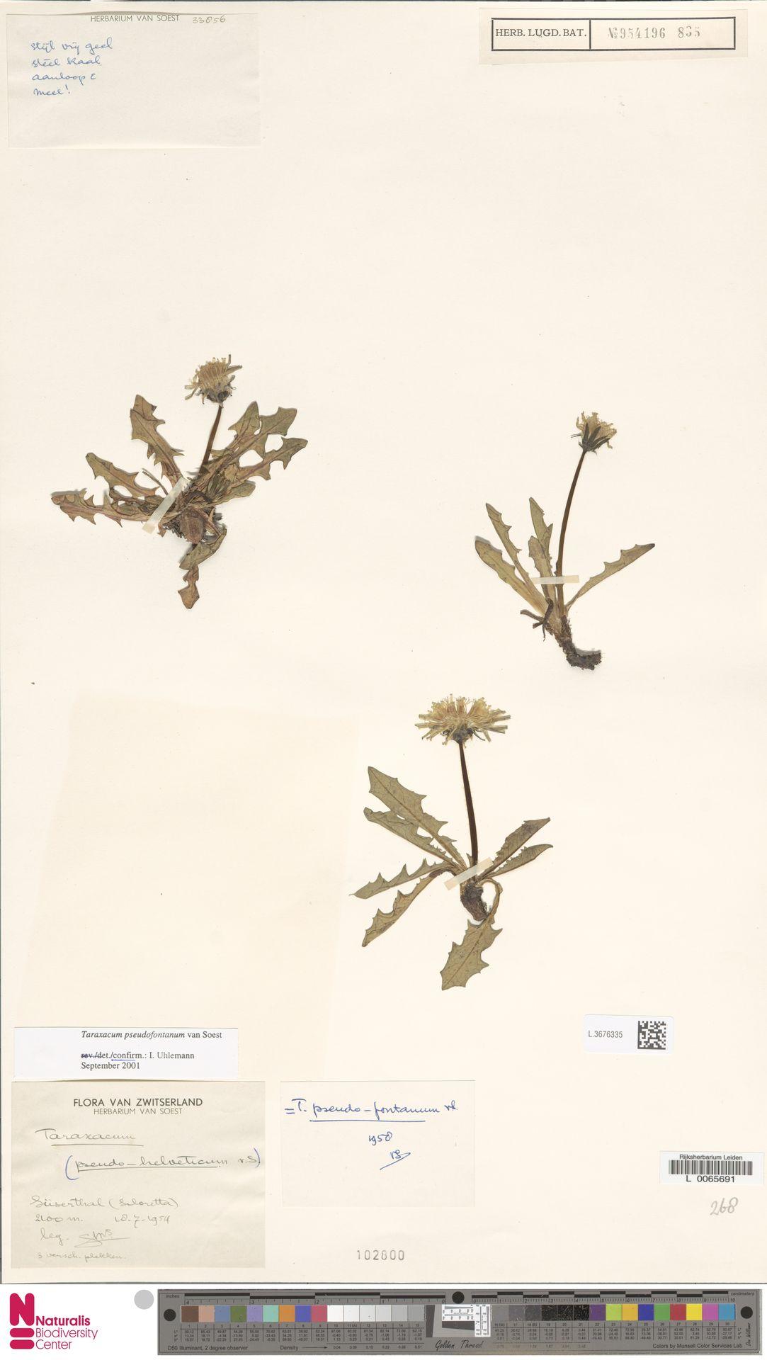 L.3676335   Taraxacum pseudofontanum Soest