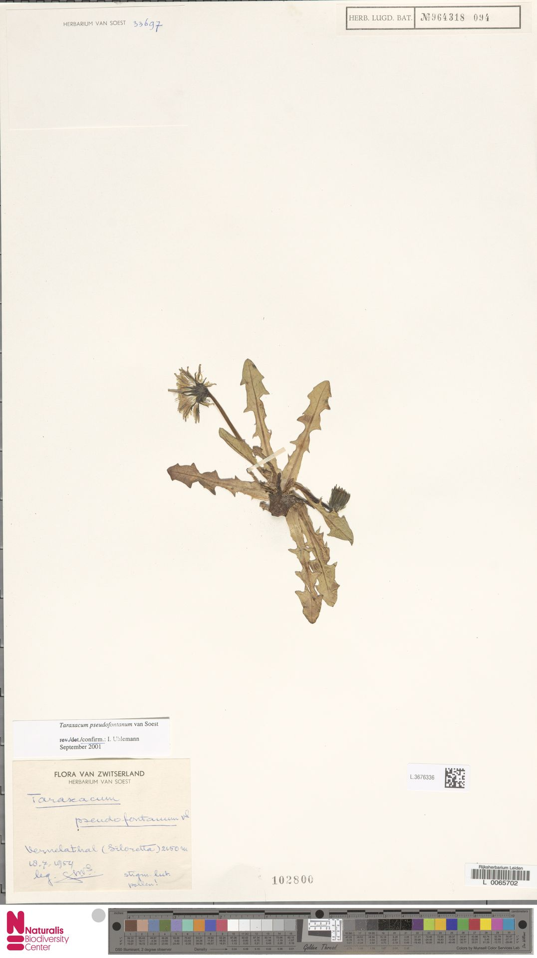 L.3676336   Taraxacum pseudofontanum Soest