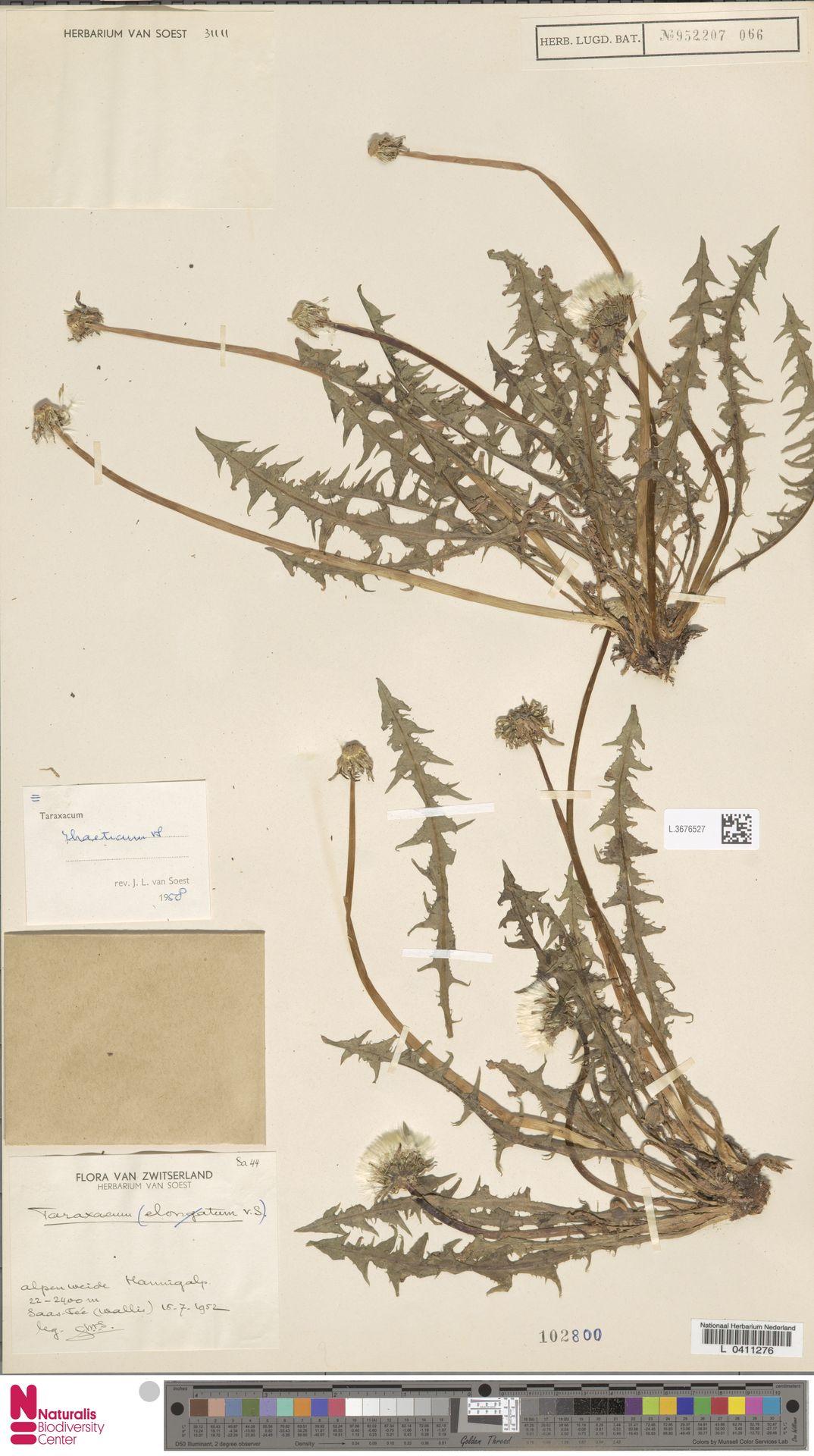 L.3676527 | Taraxacum rhaeticum Soest