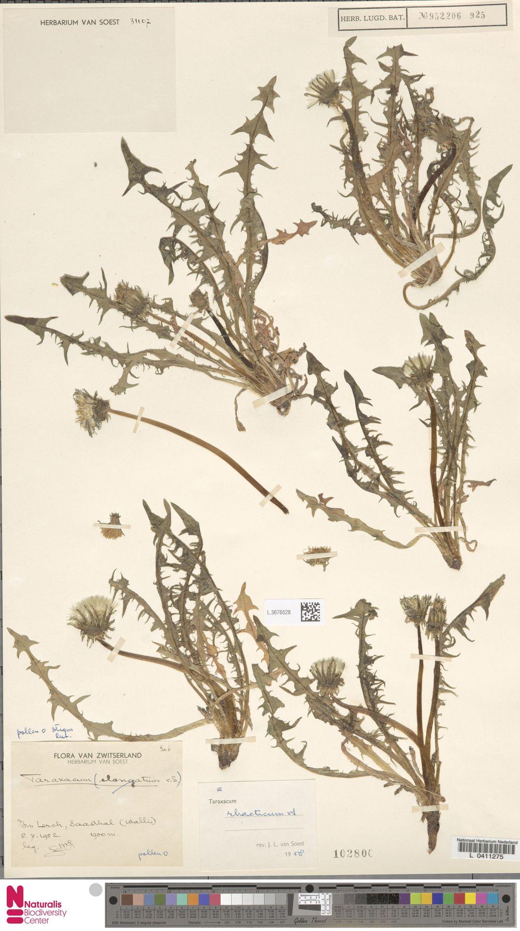 L.3676528 | Taraxacum rhaeticum Soest
