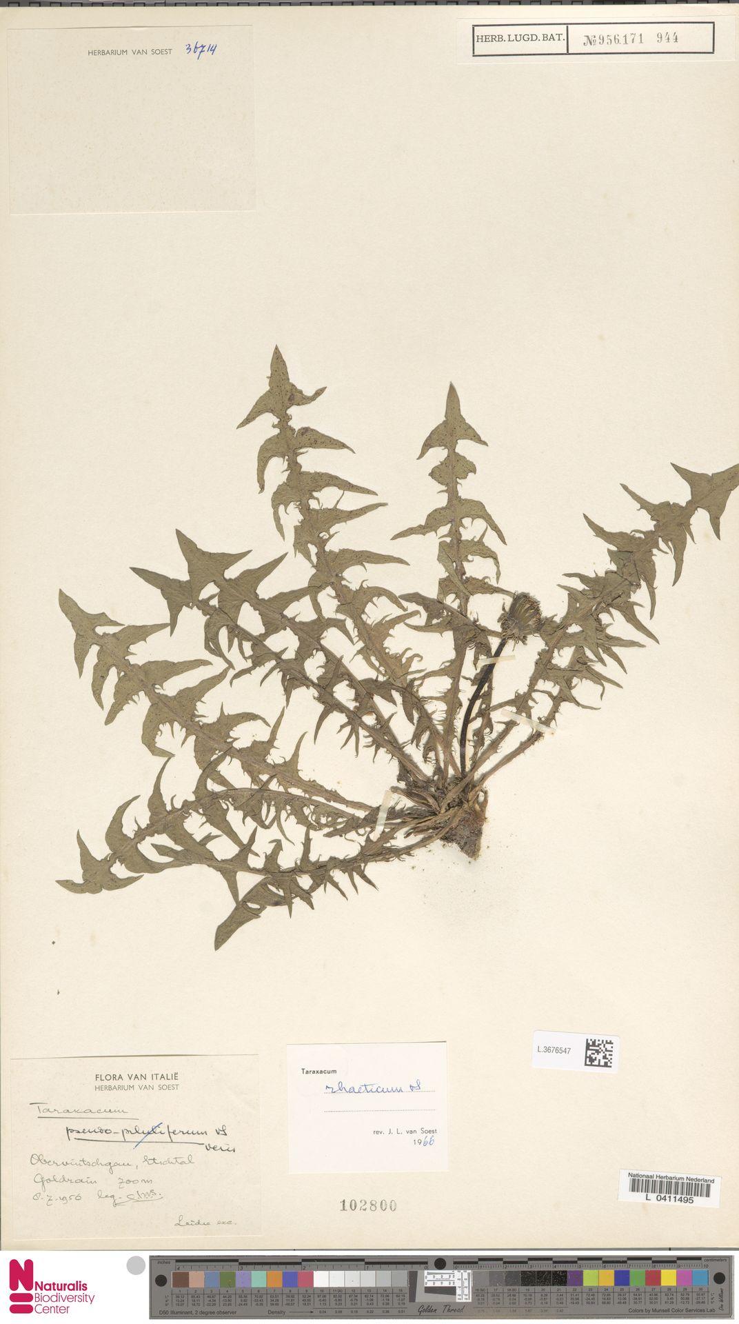 L.3676547 | Taraxacum rhaeticum Soest