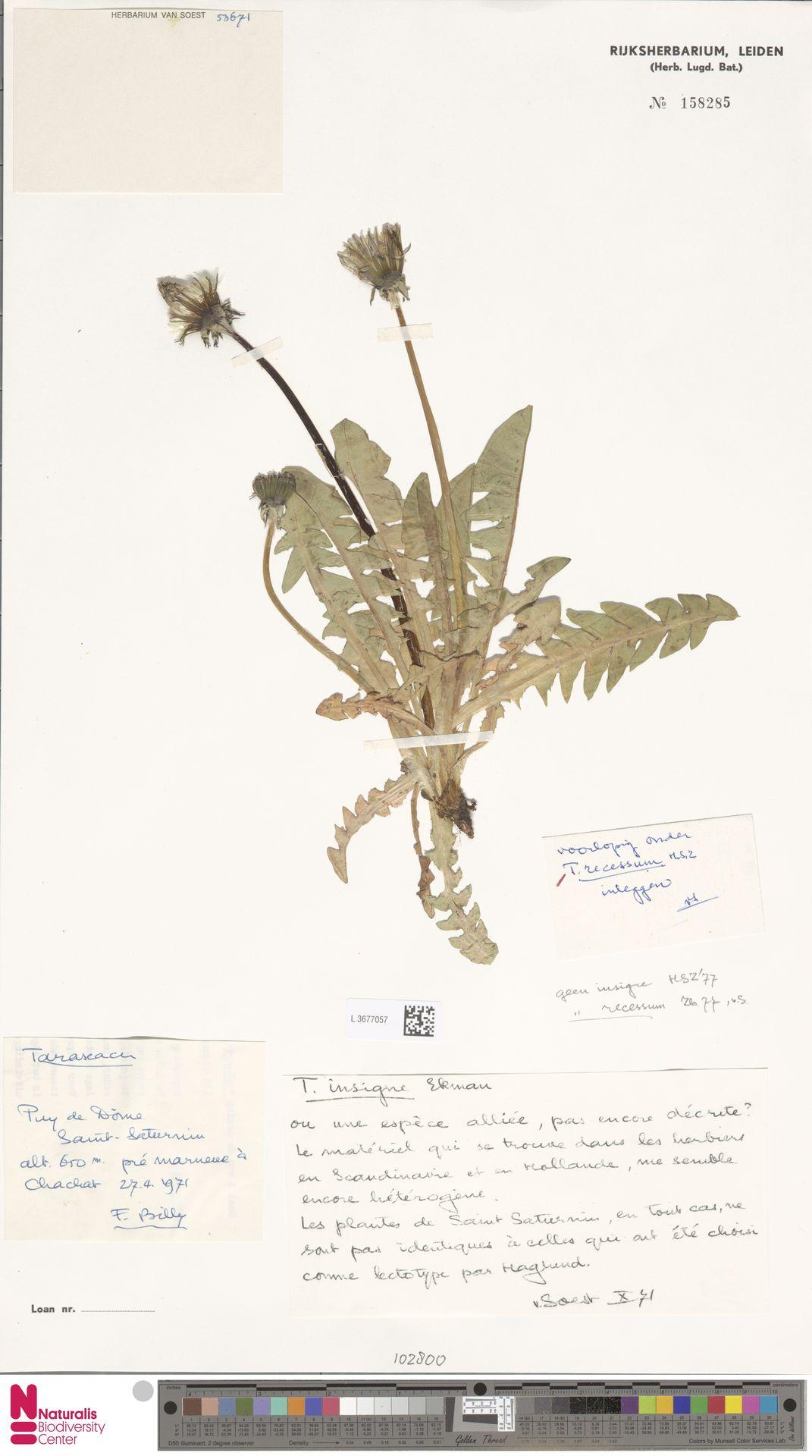 L.3677057   Taraxacum recessum Hagend., Soest & Zevenb.